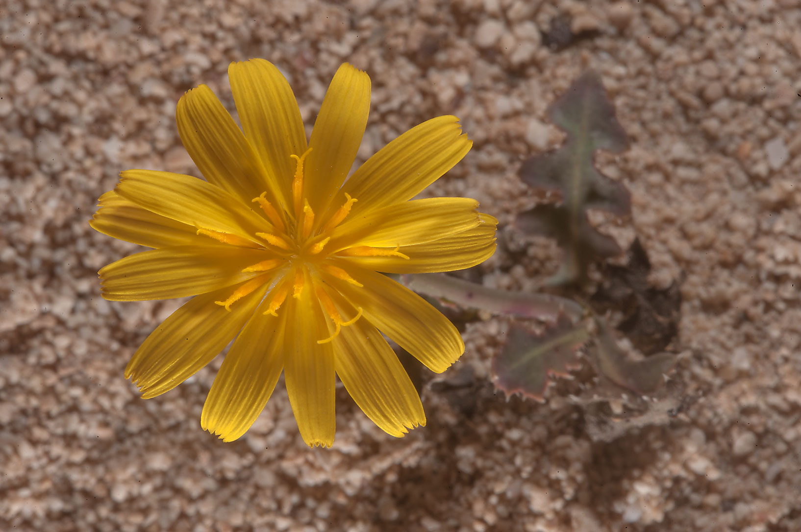 Dandelion like flower of Launaea mucronata (local...of Jebel Fuwairit. Northern Qatar