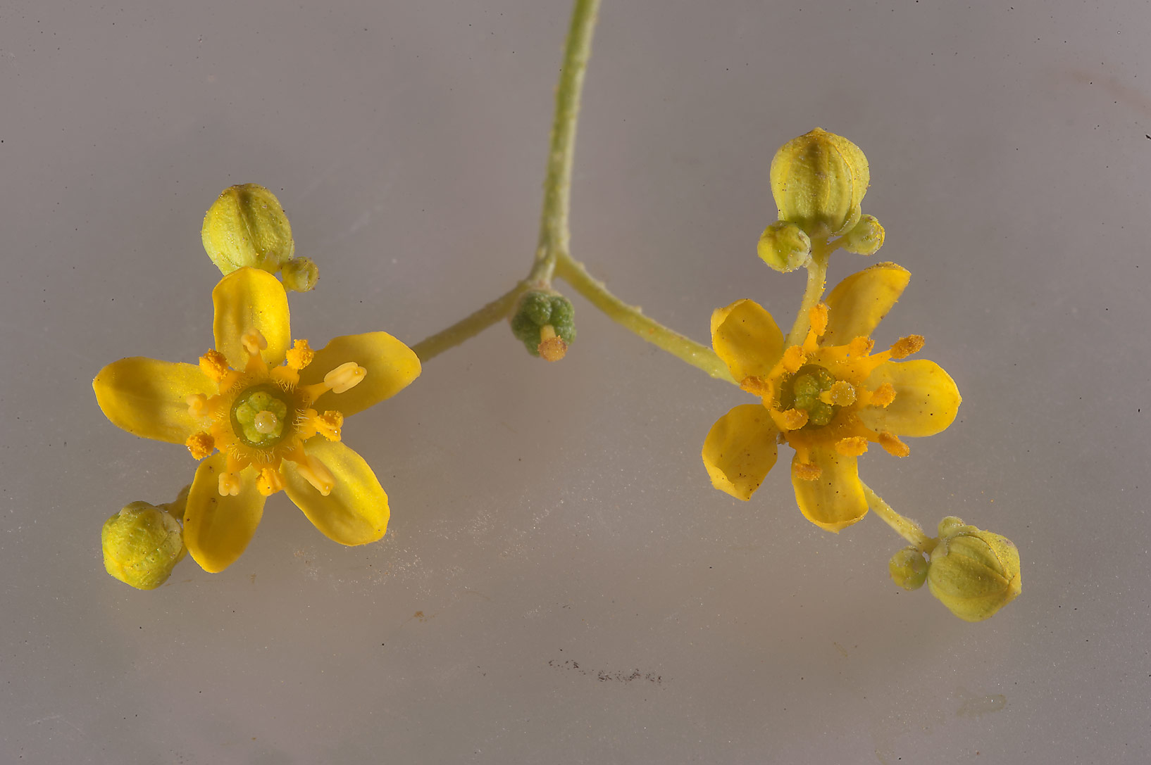 Yellow flowers (with white background) of...of Jebel Fuwairit. Northern Qatar