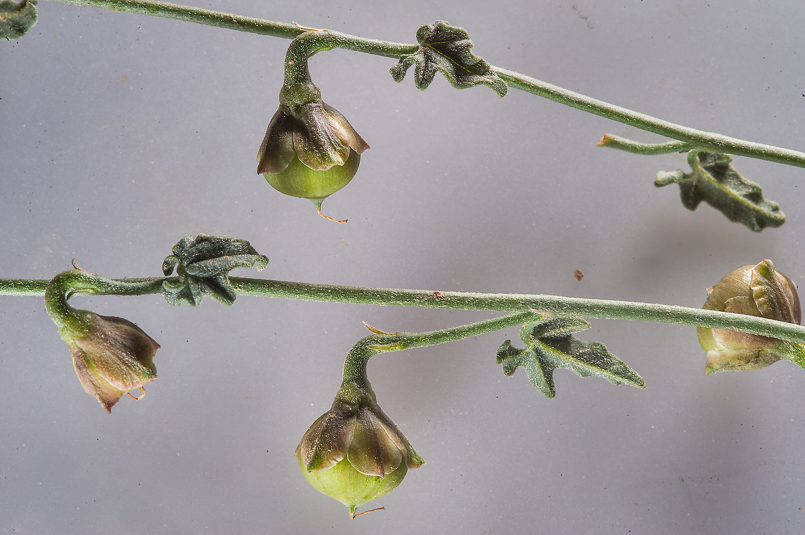 Fruits of bindweed (Convolvulus fatmensis) in a...Al Numan) near Zubara. Northern Qatar