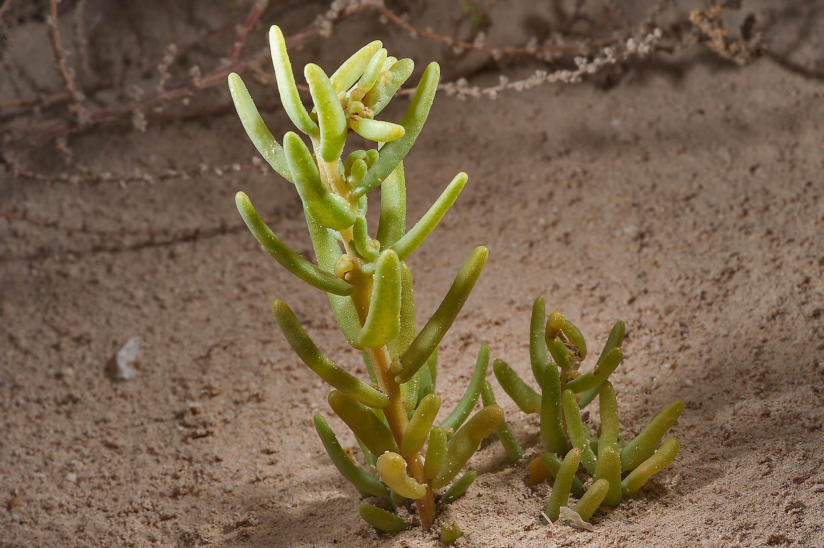 Plant of Bienertia cycloptera emerging from sand...near Saudi border. Southern Qatar