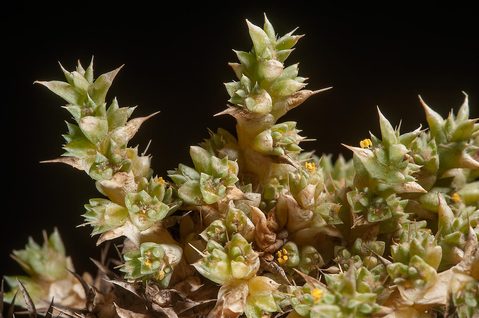 Close up of tiny flowers of Cornulaca aucheri...near Saudi border. Southern Qatar