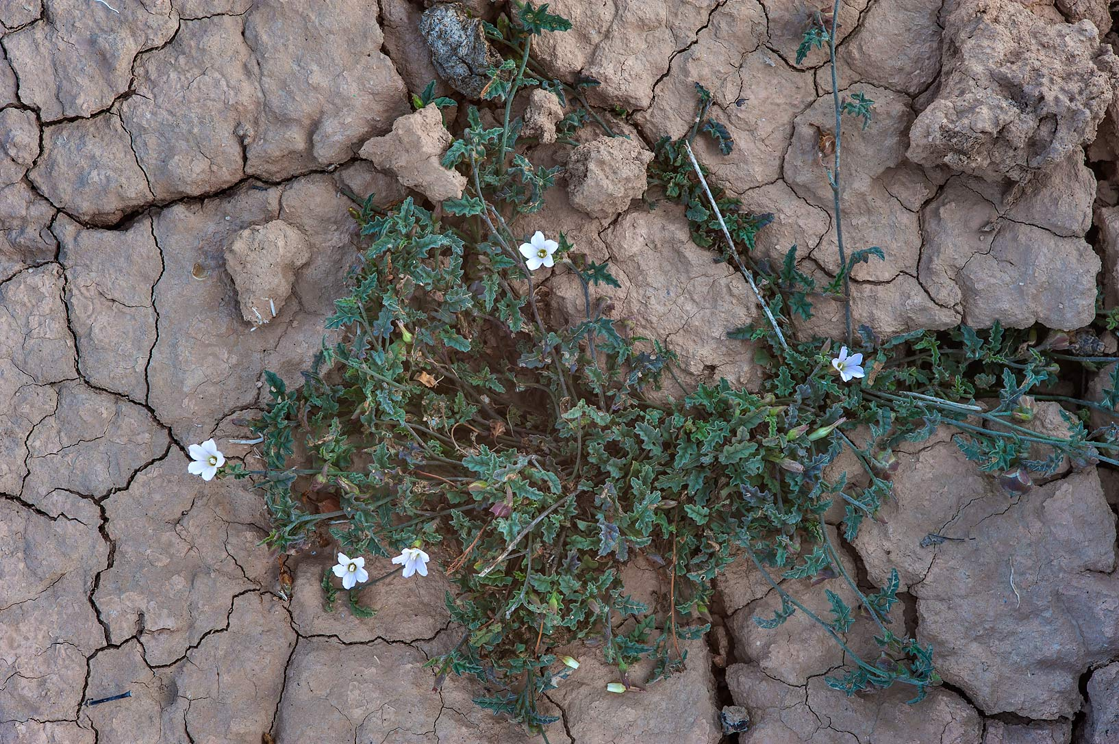 Blooming bindweed Convolvulus fatmensis in a...Nuaimiya) near Zubara. Northern Qatar