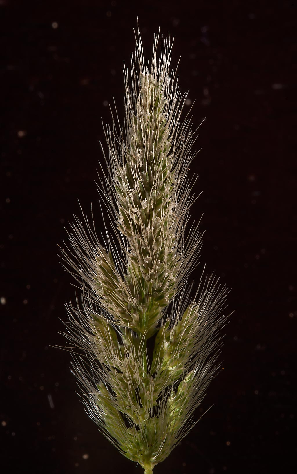 Spikelet of rabbitsfoot grass (Polypogon...Jood St. in Onaiza area. Doha, Qatar