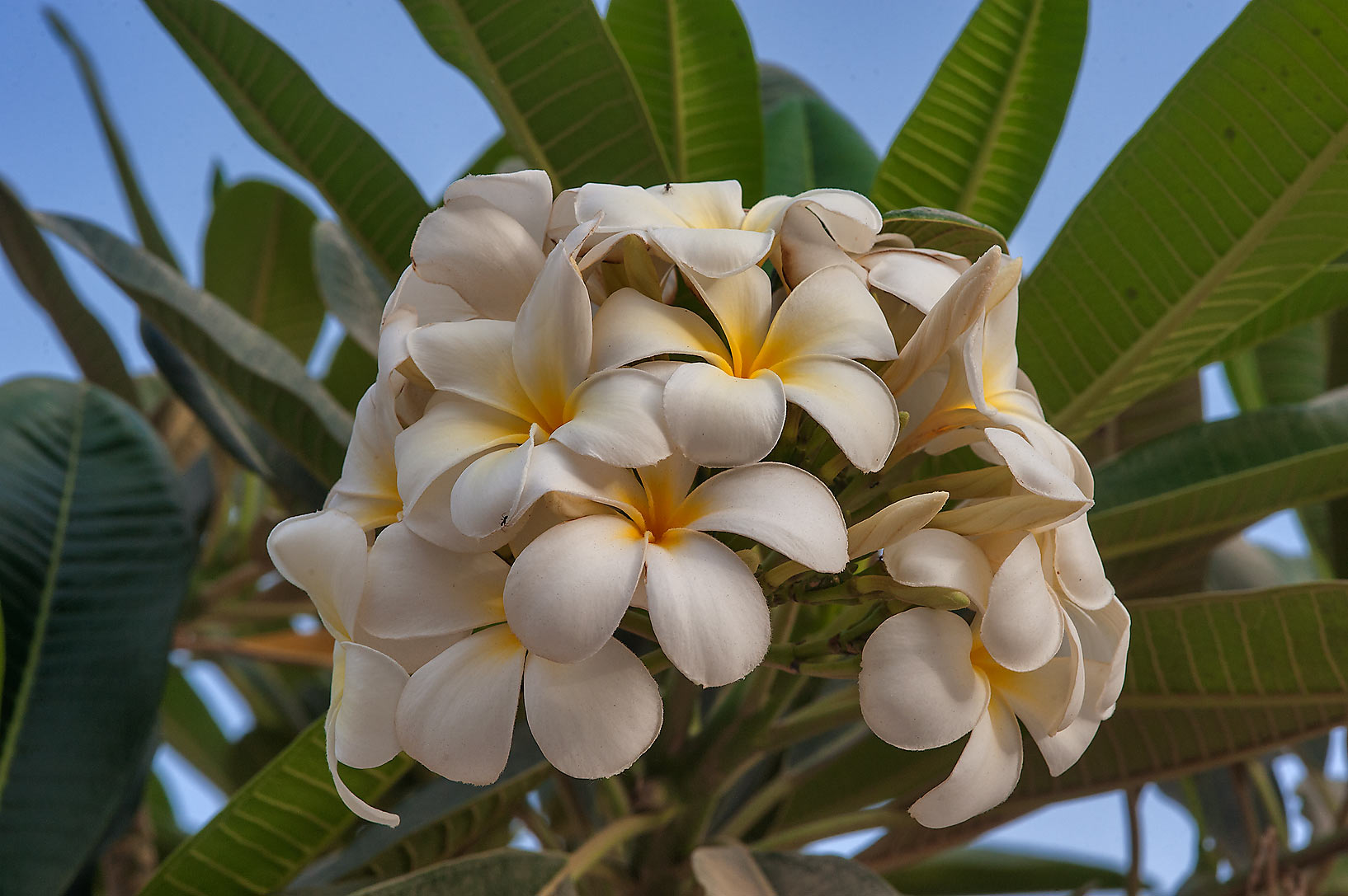 Pagoda tree (Plumeria alba) on Al Khair St. in Onaiza area. Doha, Qatar