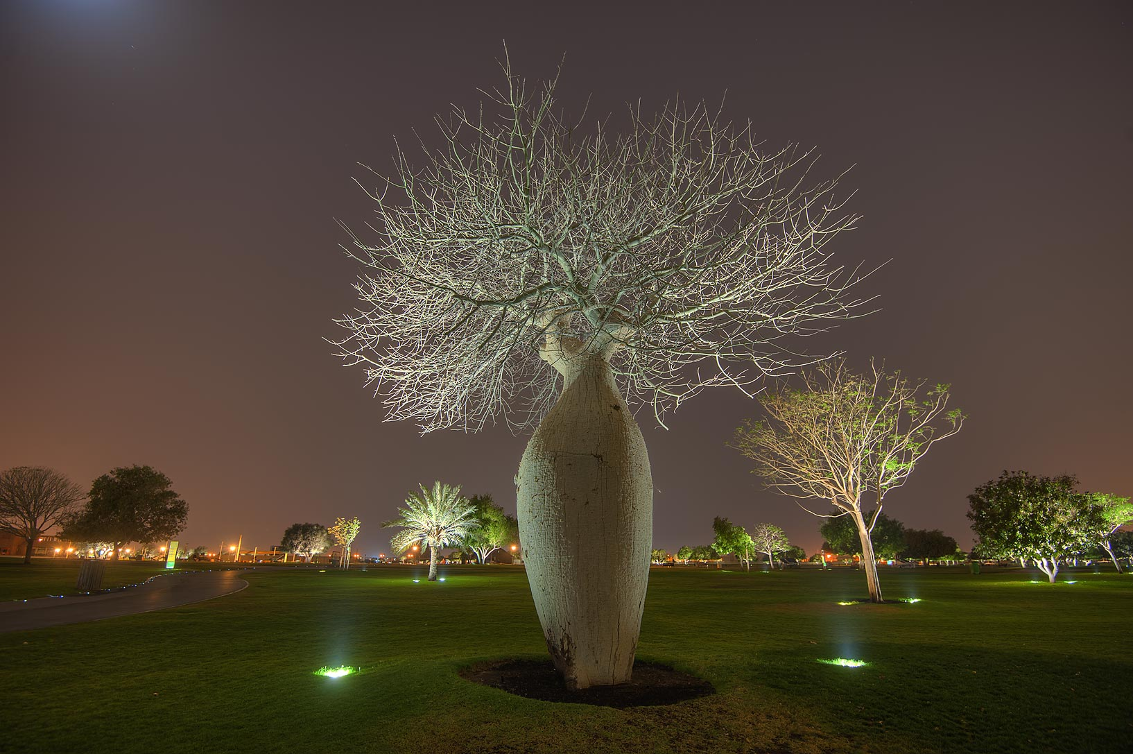 Silk floss tree (Chorisia speciosa, Ceiba...family) in Aspire Park. Doha, Qatar