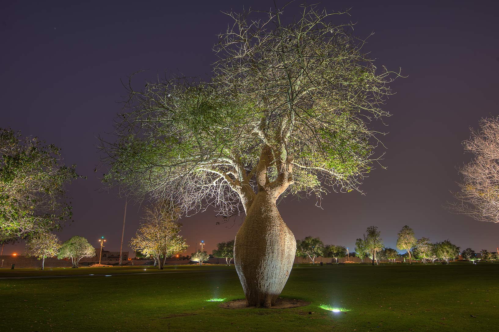 Silk floss tree (Chorisia speciosa, Ceiba...in Aspire Park at morning. Doha, Qatar