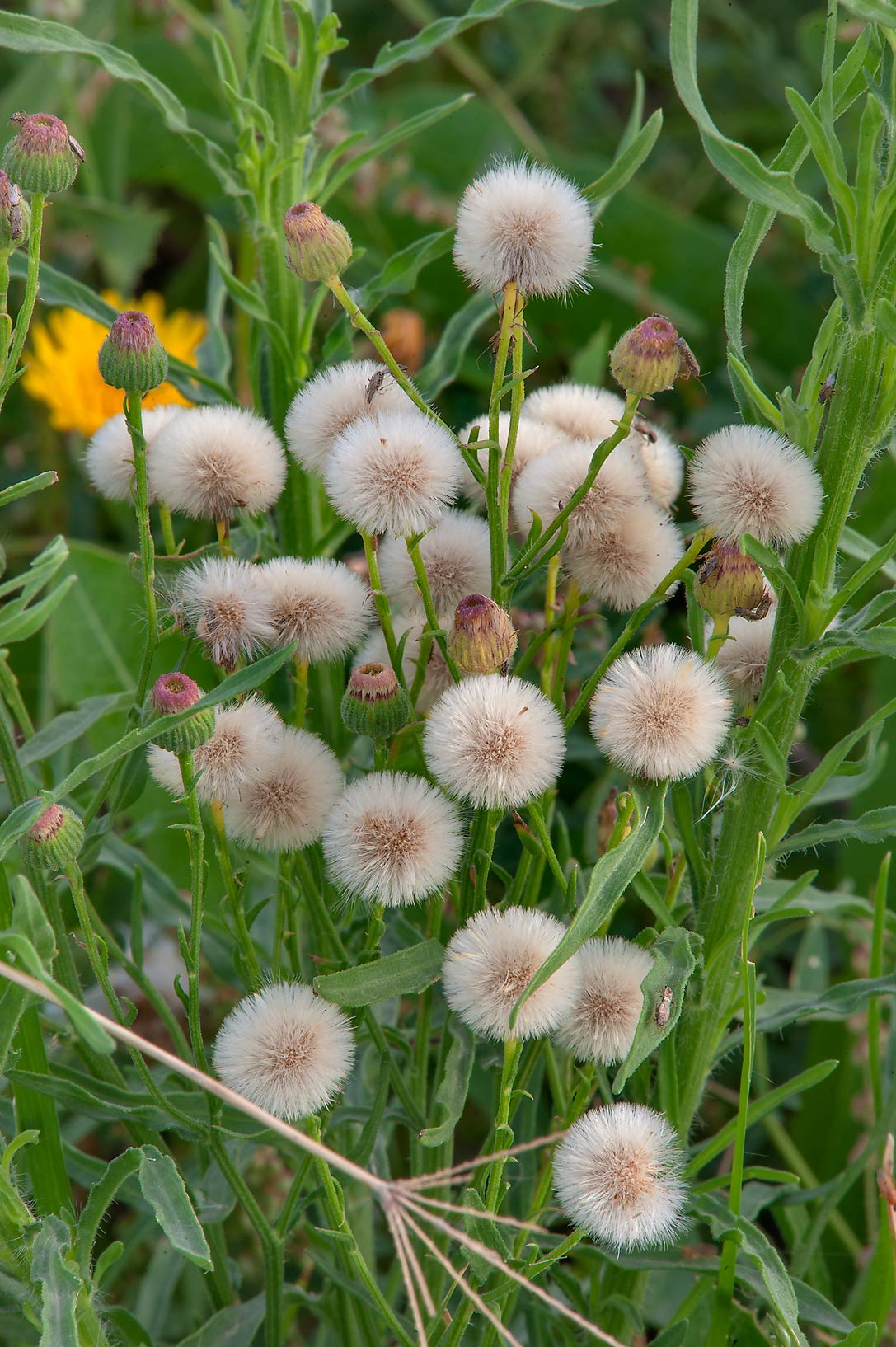 Seed heads of fleabane daisy (Erigeron...in Irkhaya (Irkaya) Farms. Qatar
