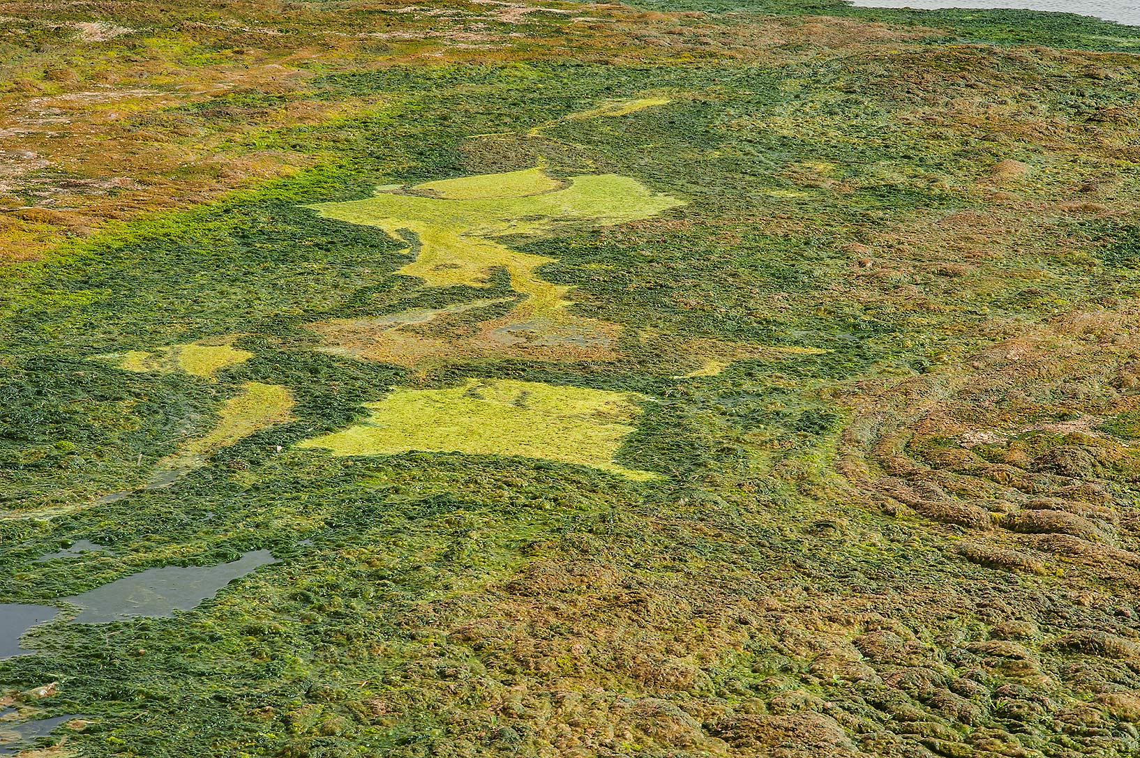 Green algae mats in a pond of Green Circles...in Irkhaya (Irkaya) Farms. Qatar