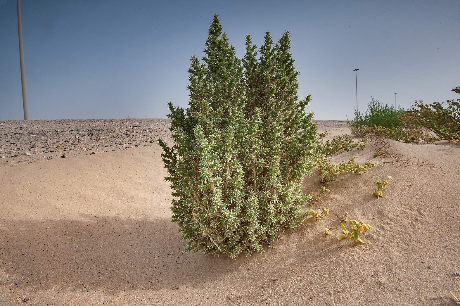 Cornulaca aucheri in windblown sand on roadside...area of Rawdat Ekdaim. Southern Qatar