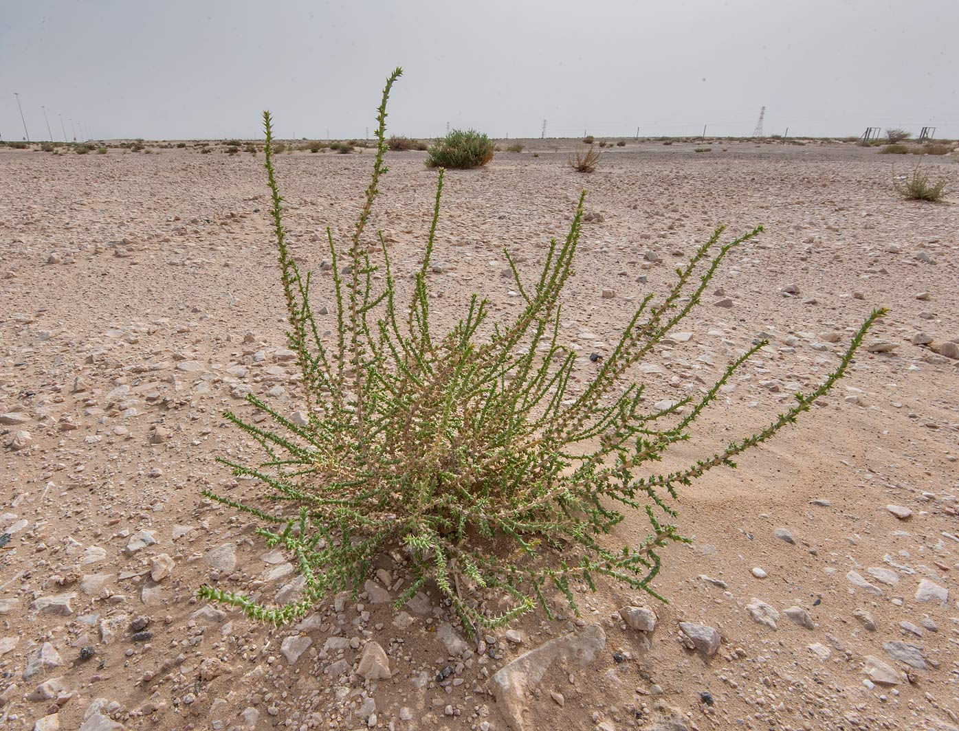 Cornulaca monacantha on stony ground on roadside...area of Rawdat Ekdaim. Southern Qatar