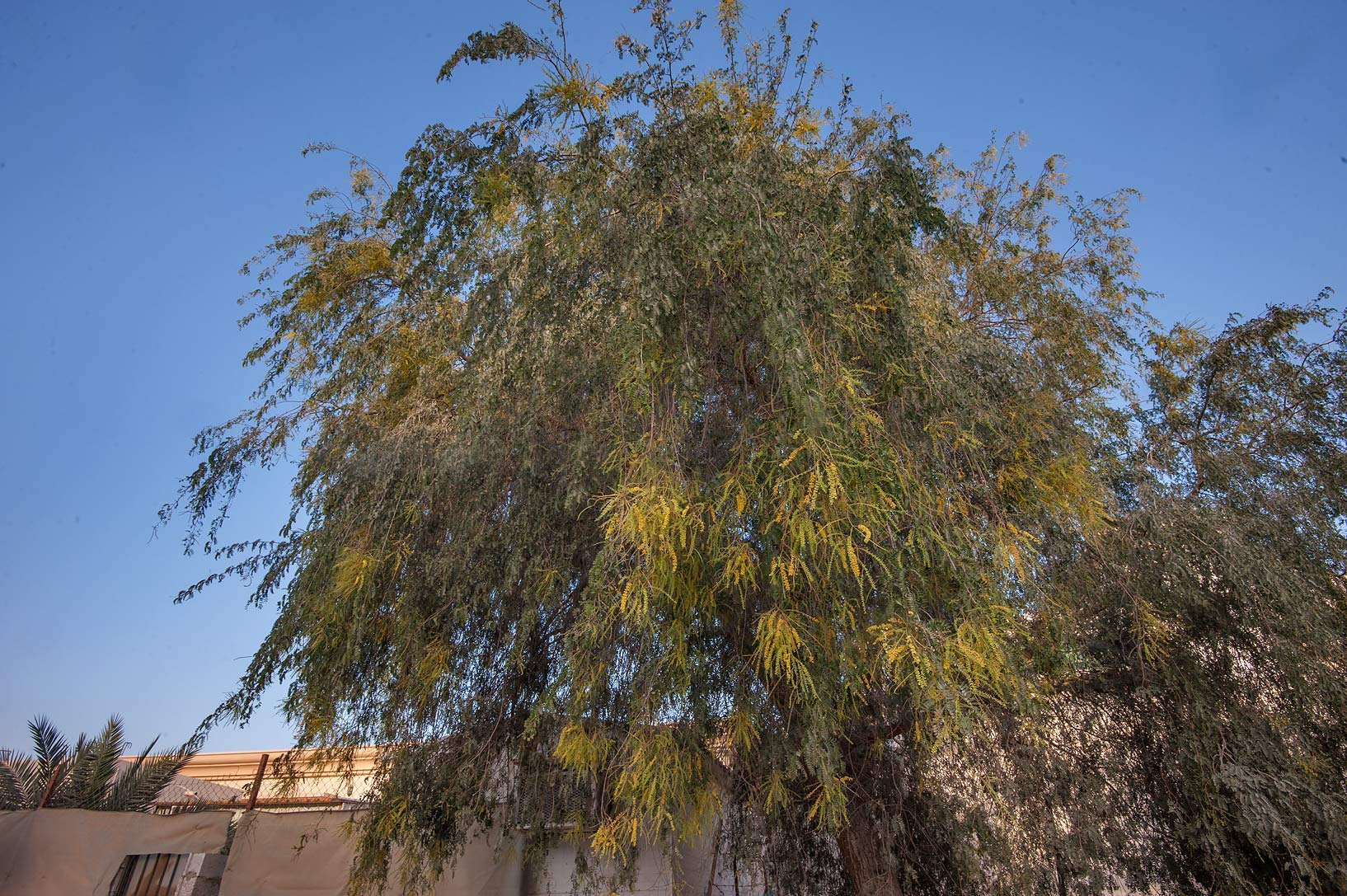 Ghaf tree (Prosopis cineraria) on Al Furqan St. in Al Luqta area. Doha, Qatar