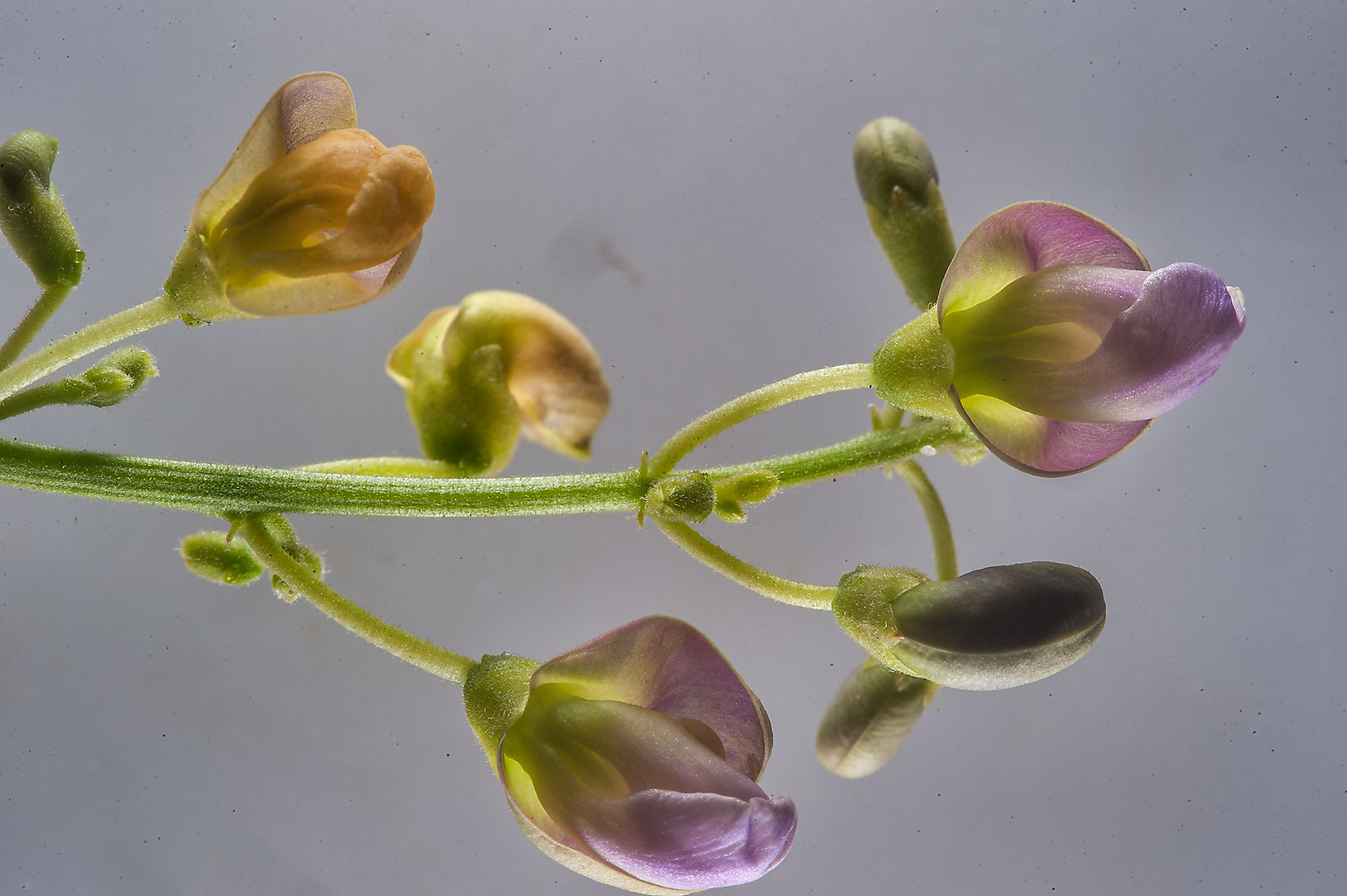 Flowers of moong bean (Vigna radiata) taken from...St. in Al Luqta area. Doha, Qatar
