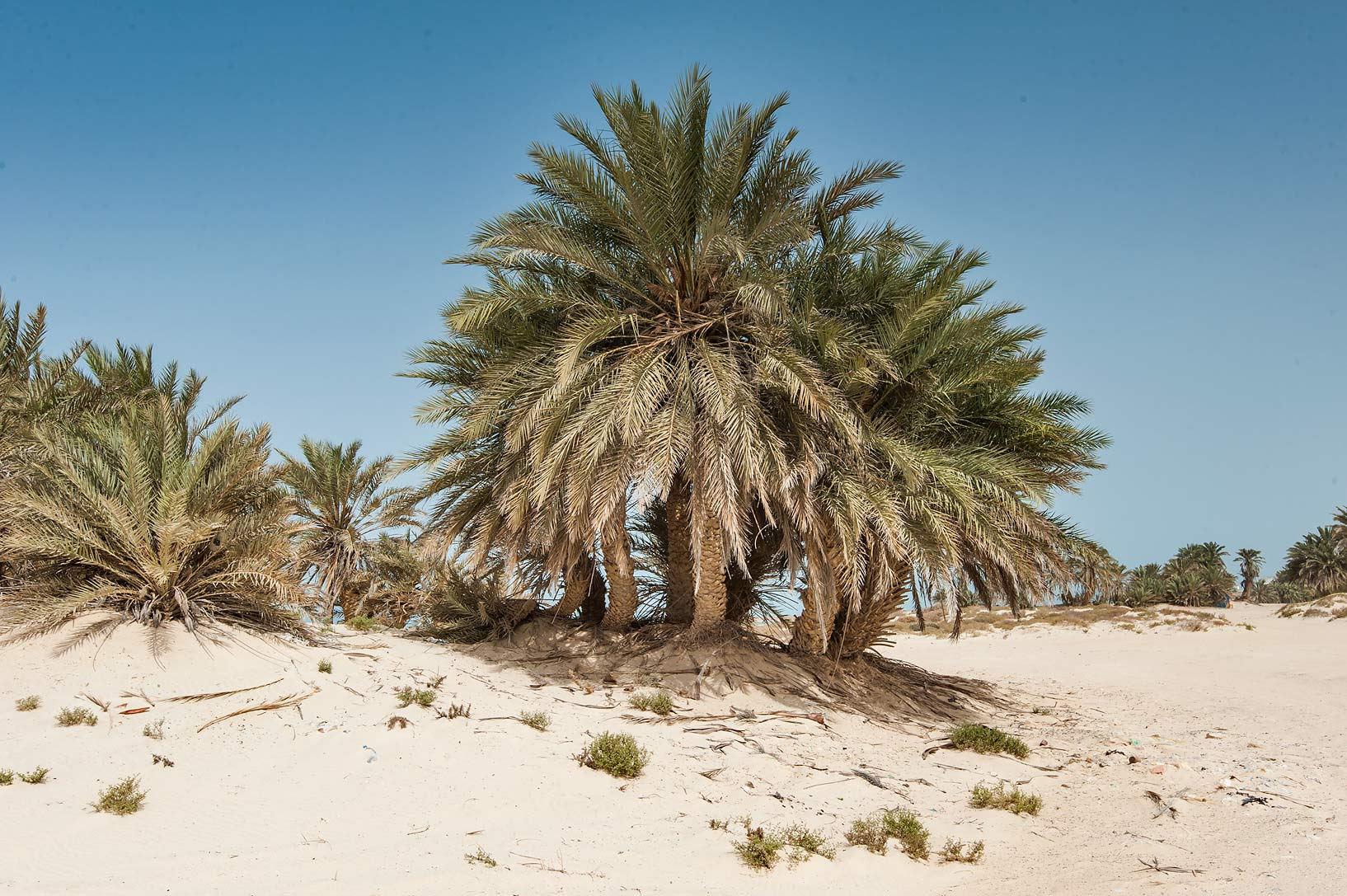 Group of date palms (Phoenix dactylifera, local...near Umm Bab in south-western Qatar