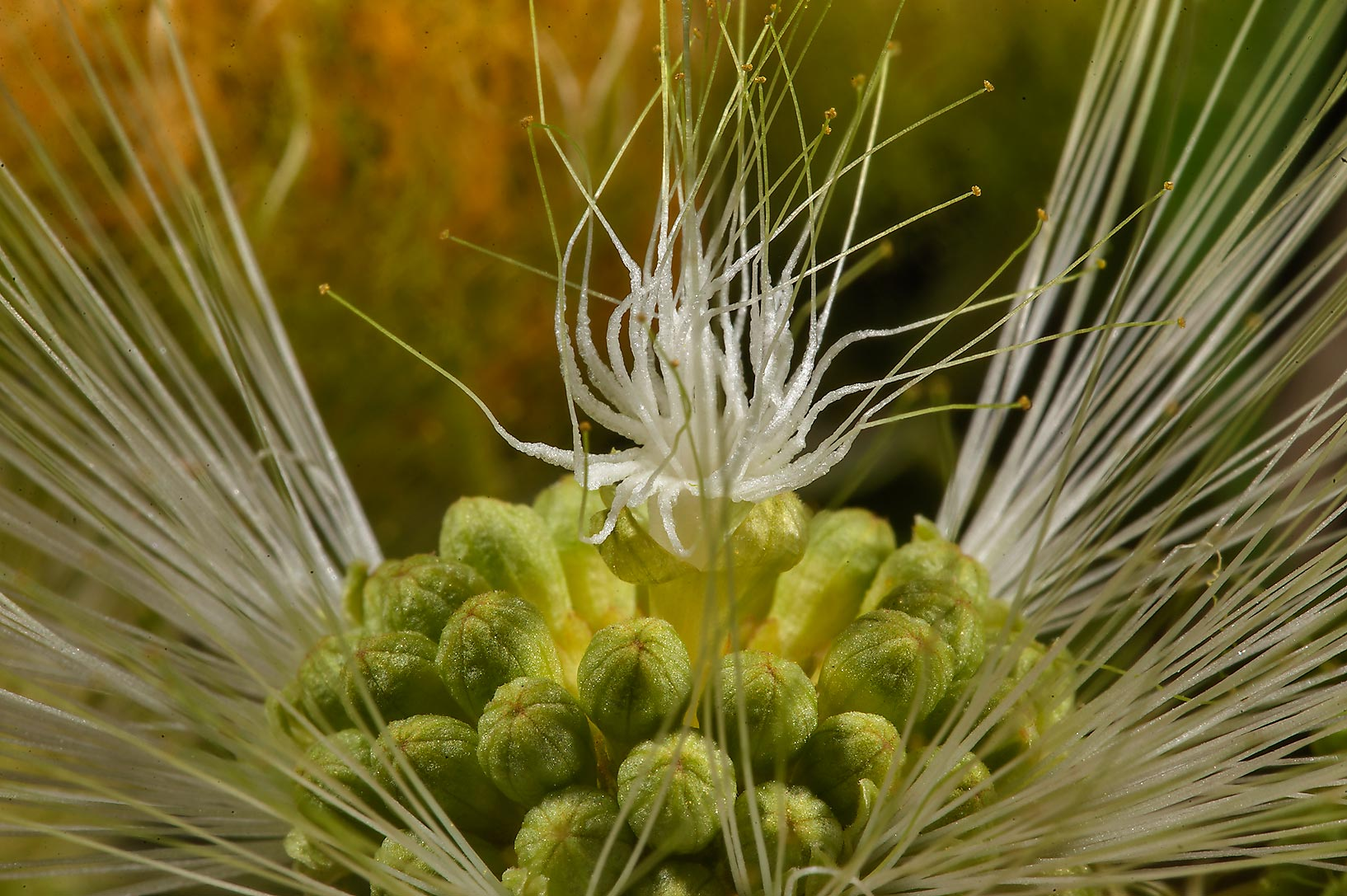 Detail of a flower of frywood tree (Albizia...Shatt St. in Onaiza area. Doha, Qatar