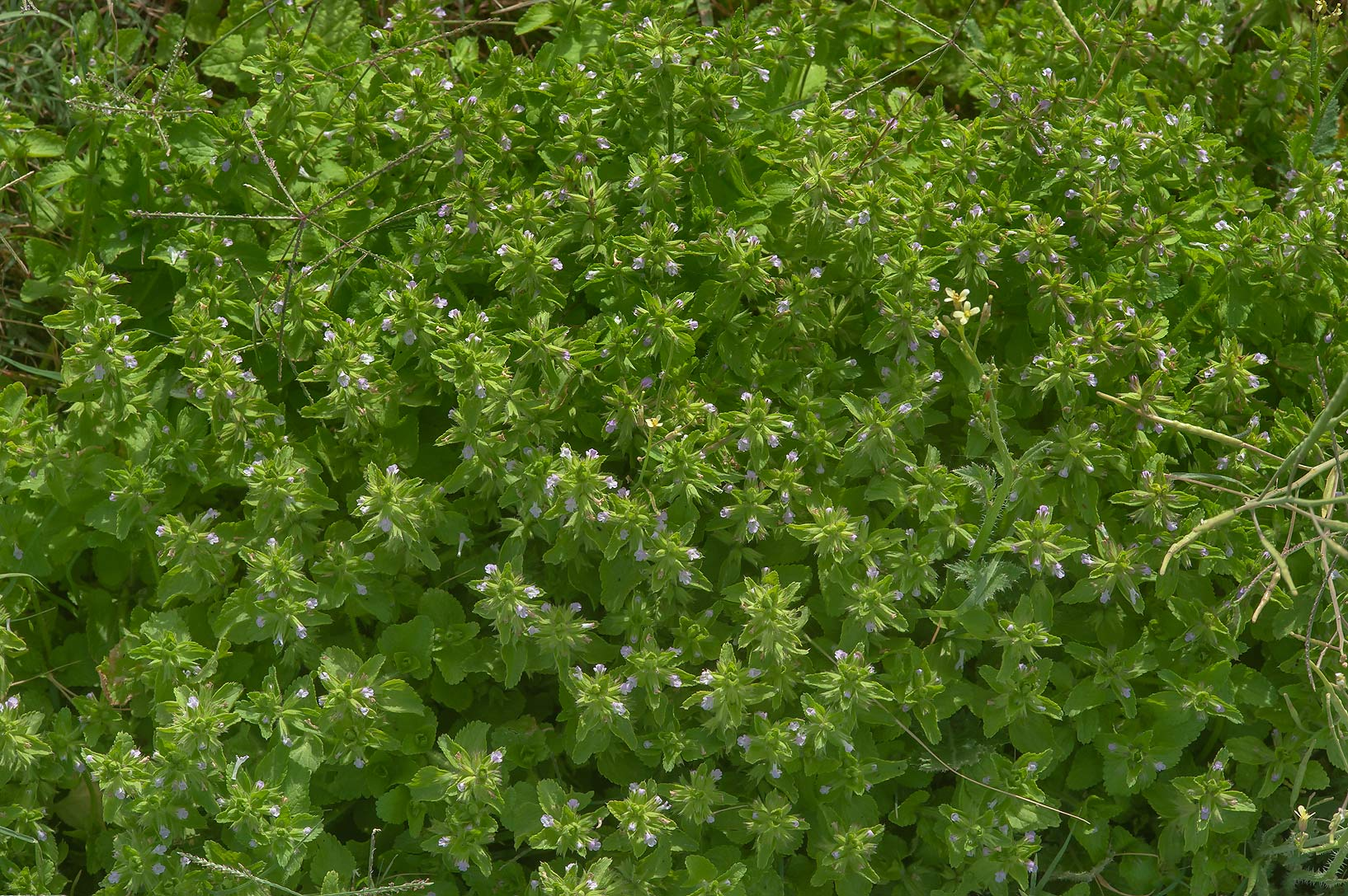 Carpet of staggerweed (Stachys arvensis) on a...in Irkhaya (Irkaya) Farms. Qatar