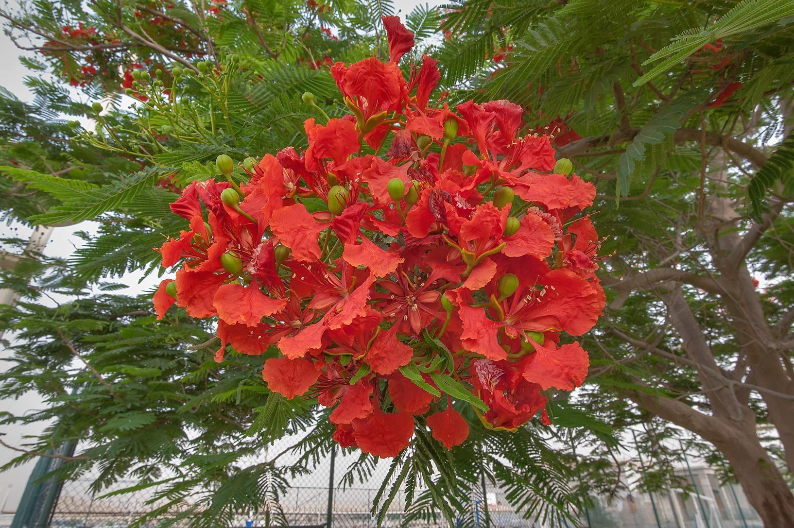 Bright red flowers of royal Poinciana tree...regia) in Aspire Park. Doha, Qatar
