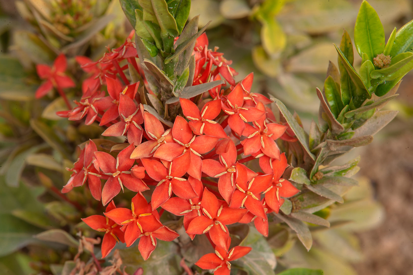 Jungle geranium (Ixora coccinea) in a park at Al...near a corner with Onaiza. Doha, Qatar
