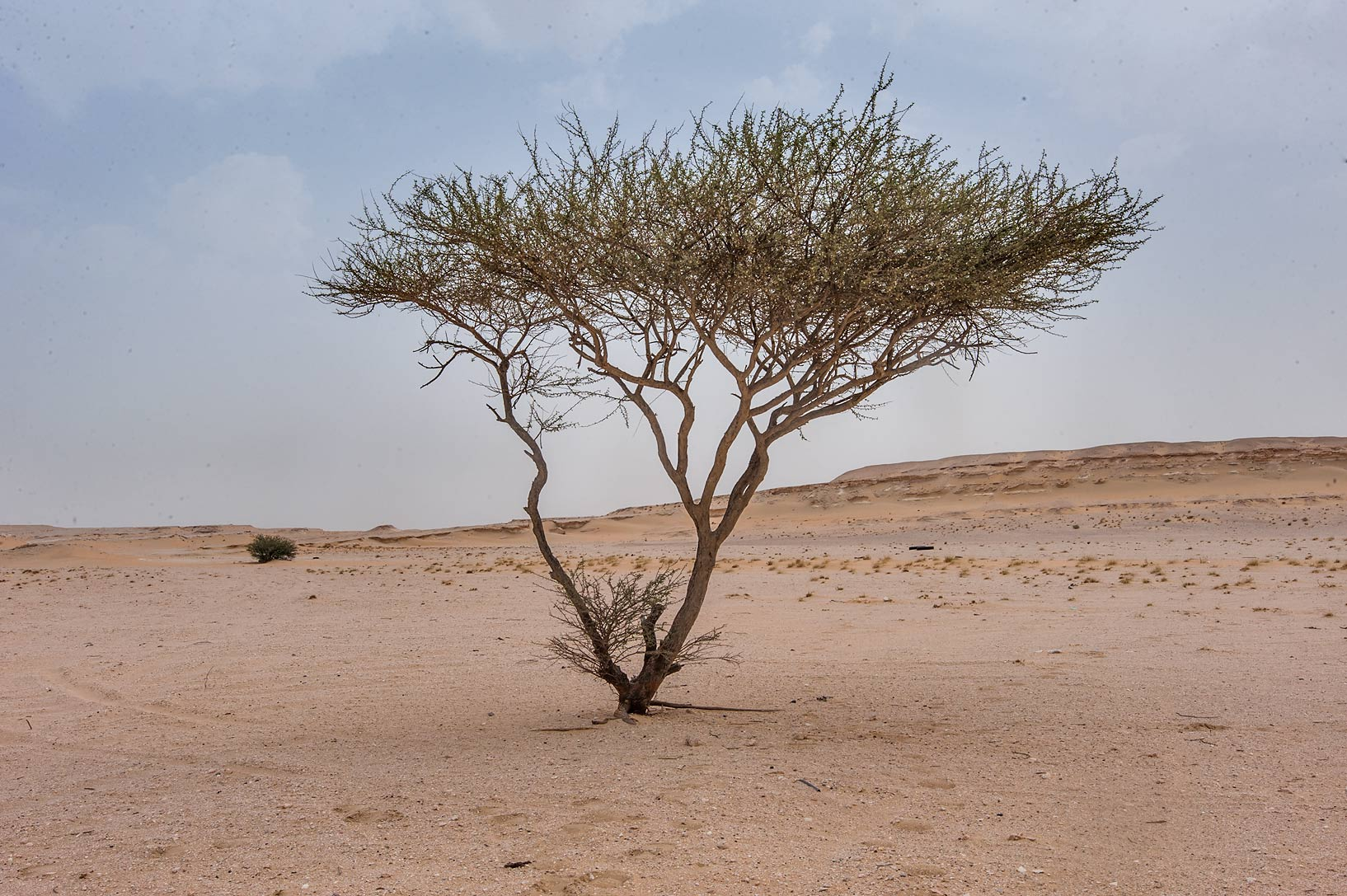 Acacia tortilis in area of Nakhsh Mountain near Salwa Rd. in southern Qatar
