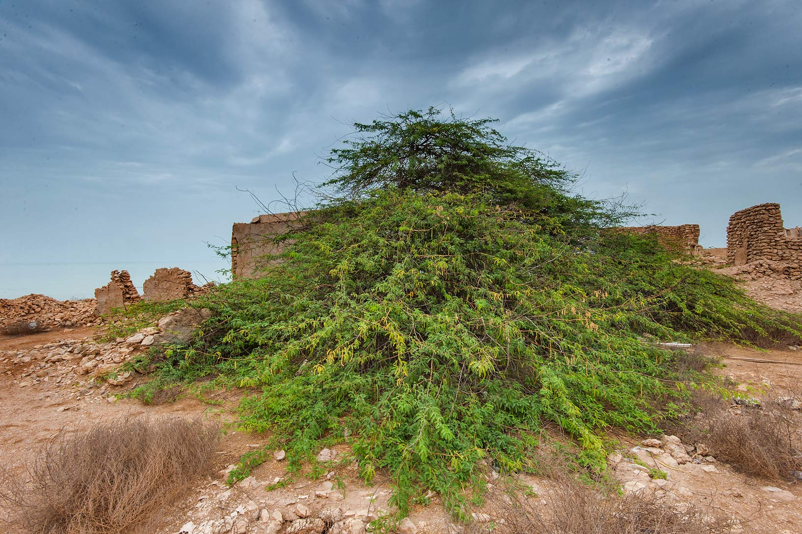 Mesquite tree (Prosopis juliflora, Prosopis...Jumayl) west of Ruwais. Northern Qatar
