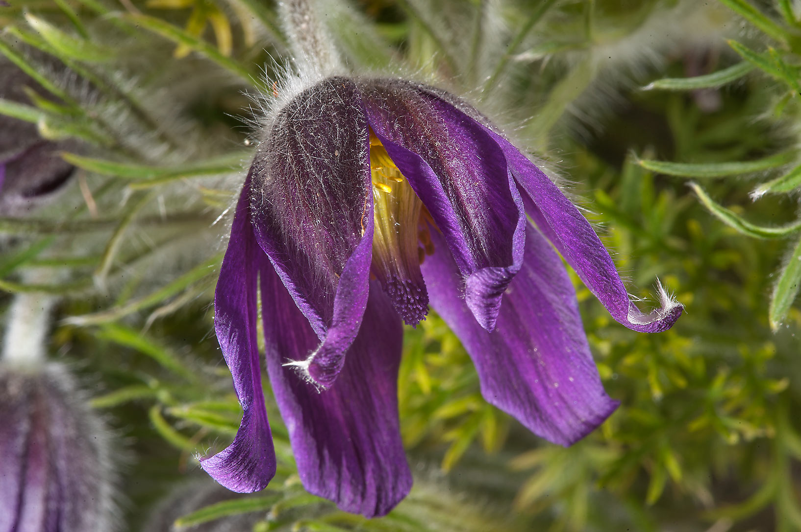 Purle flower of common pasqueflower (Pulsatilla...Institute. St.Petersburg, Russia