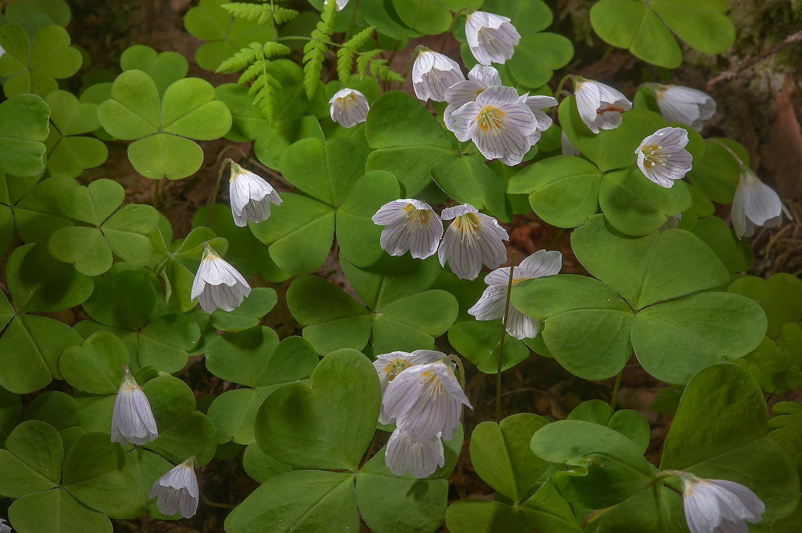 Flowers of wood sorrel (Oxalis acetosella...suburb of St.Petersburg, Russia
