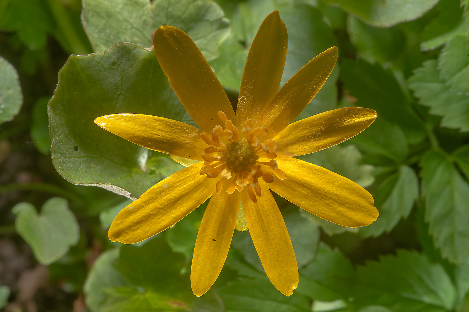 Back lit flower of lesser celandine (Ficaria...a suburb of St.Petersburg, Russia