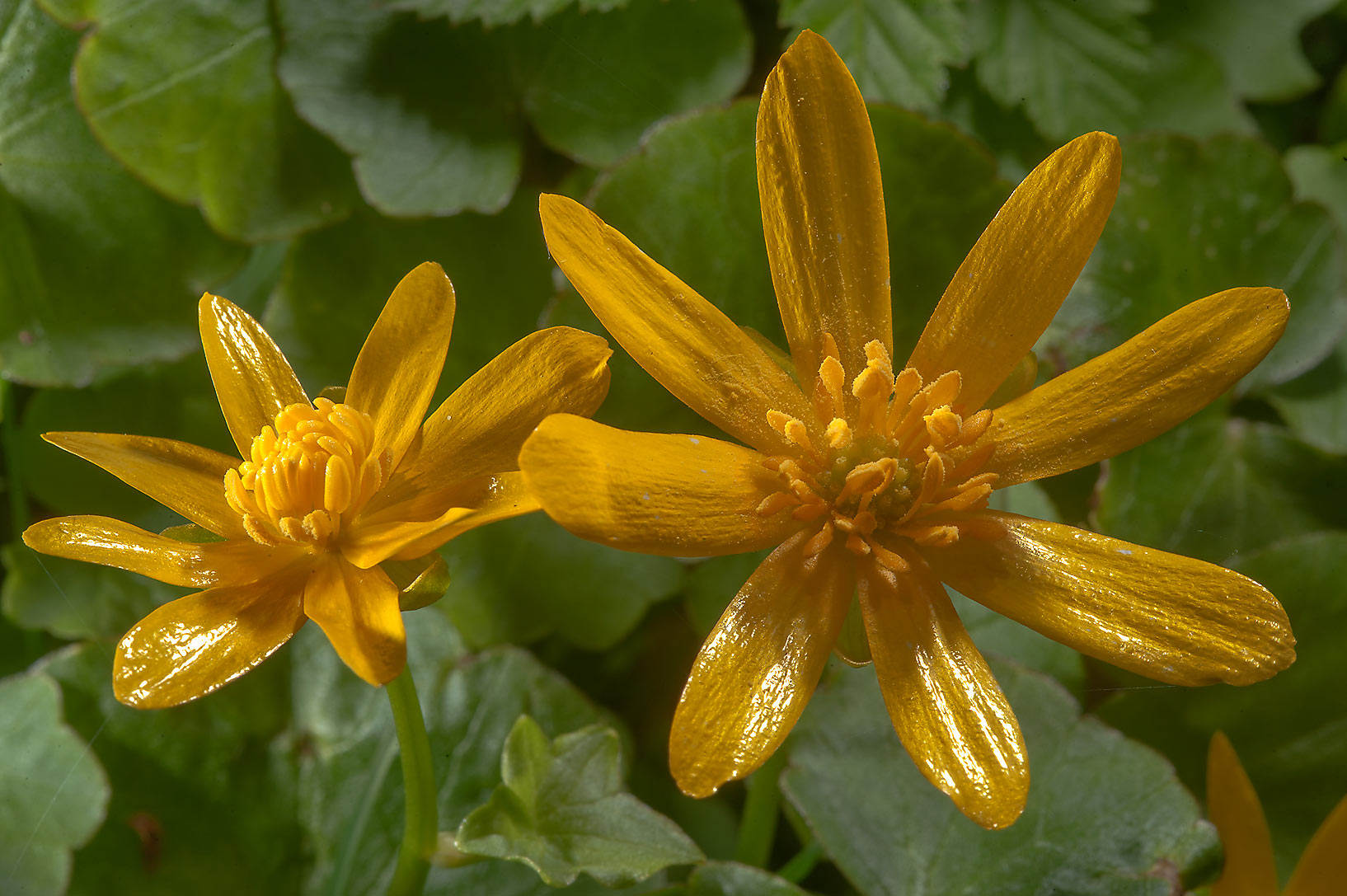 Flowers of lesser celandine (Ficaria verna...a suburb of St.Petersburg, Russia