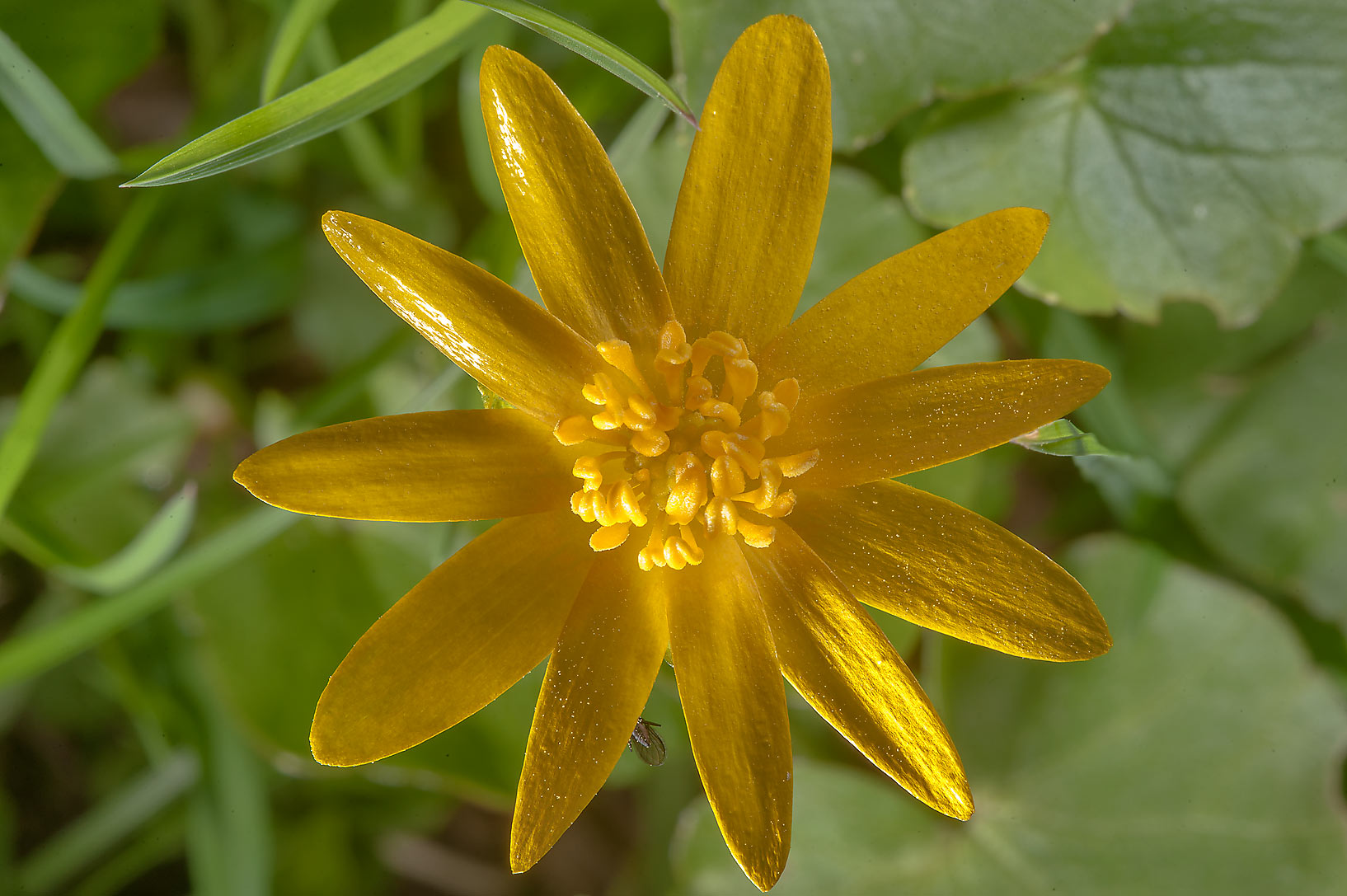 Yellow flower of lesser celandine (Ficaria verna...a suburb of St.Petersburg, Russia