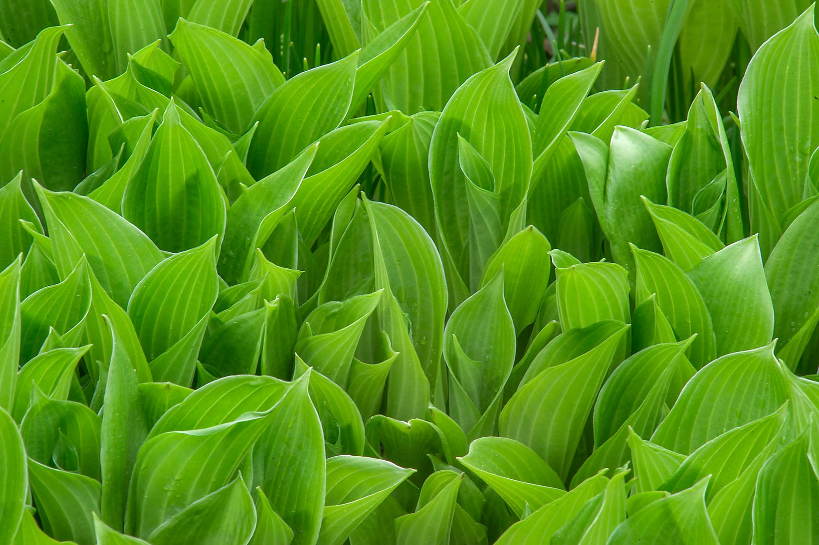 Young green leaves of plantain lily (hosta) in...Institute. St.Petersburg, Russia