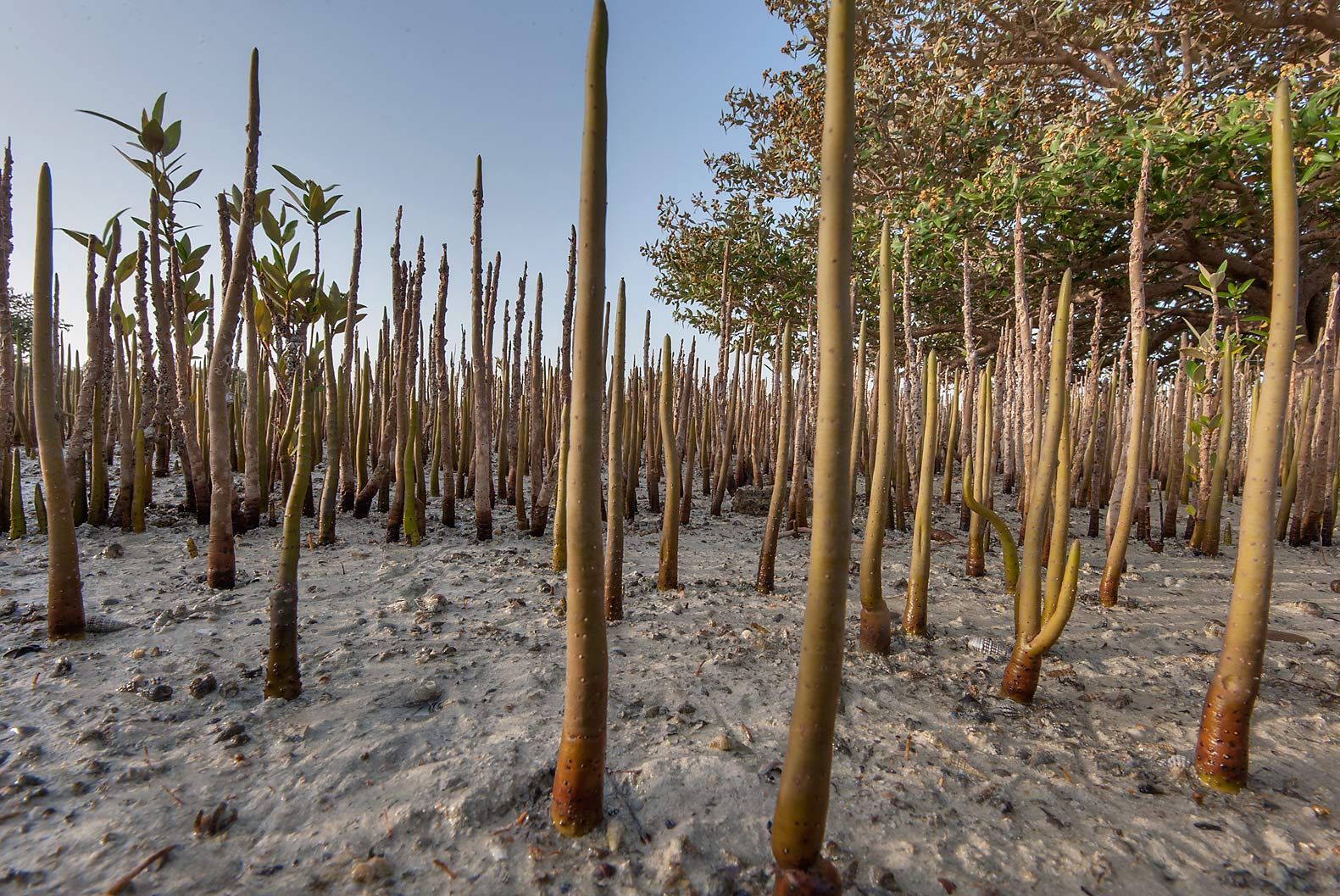 Breathing roots (pneumatophores) of mangroves...Jazirat Bin Ghanim). Al Khor, Qatar