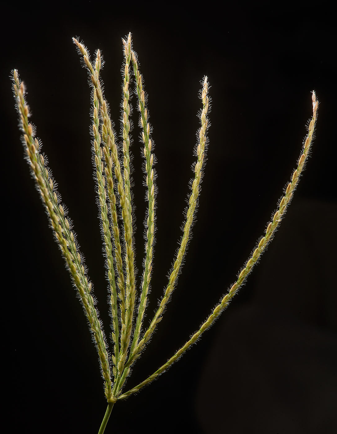 Grass spikelet of Asian crabgrass (Digitaria...Sham St. in Onaiza area. Doha, Qatar