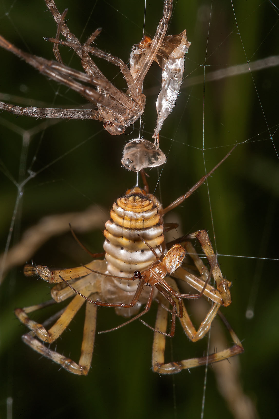 Mating yellow garden spiders (Argiope aurantia...in Irkhaya (Irkaya) Farms. Qatar