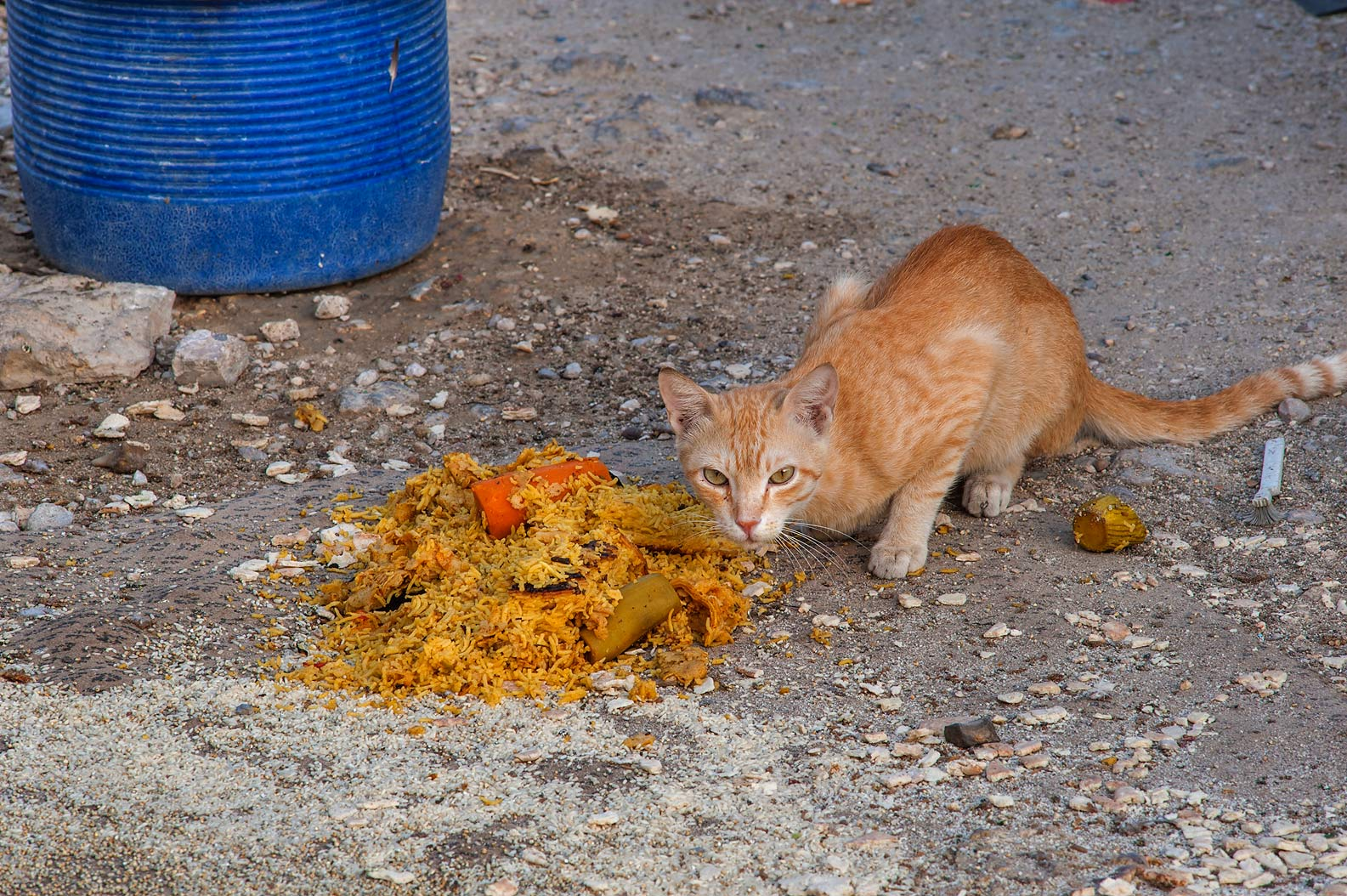 Brown cat eating leftover food from Iftar dinner...St., Musheirib area. Doha, Qatar