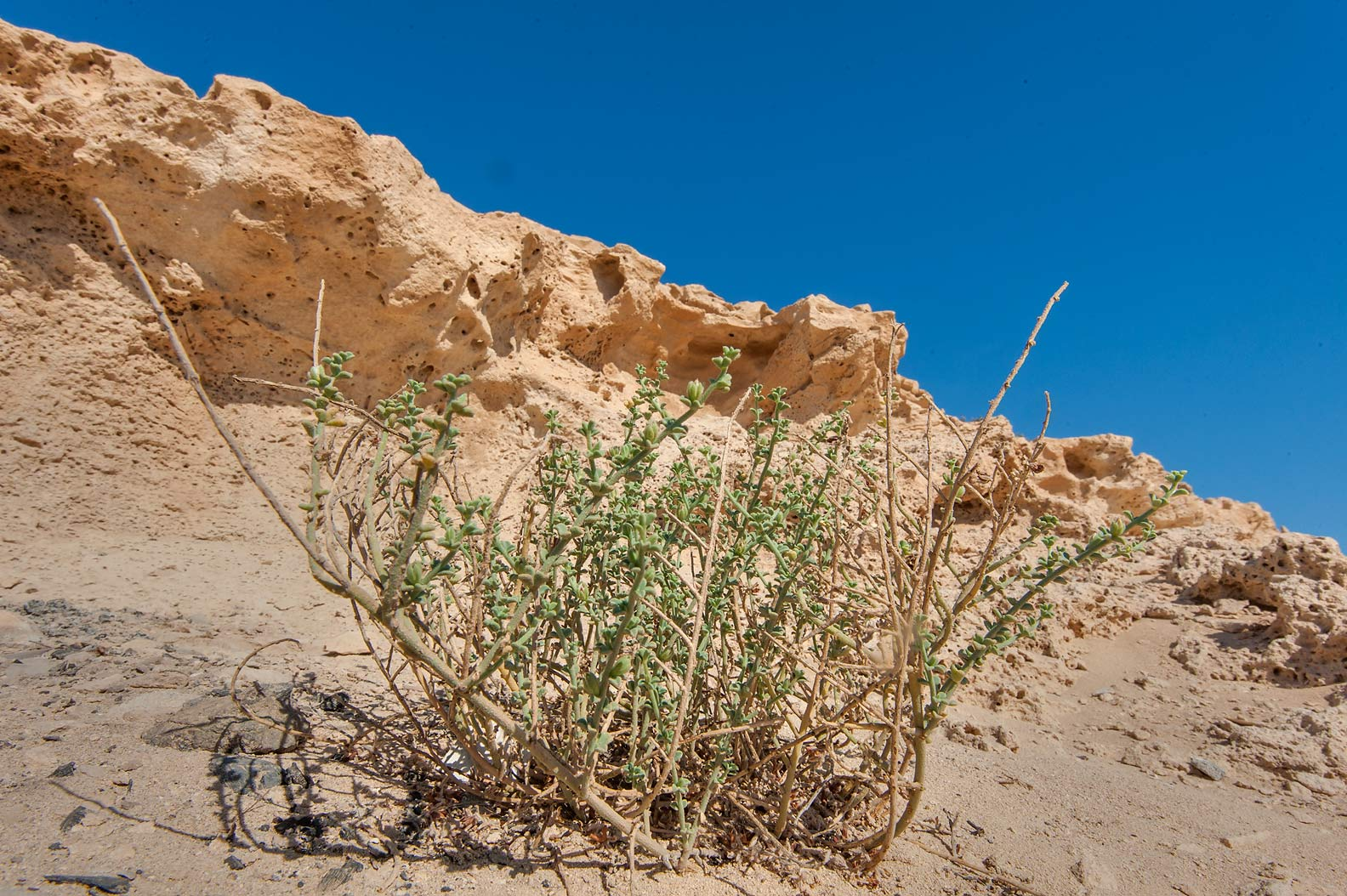Plant of Lotus garcinii under the cliffs of Jebel Fuwairit. Northern Qatar