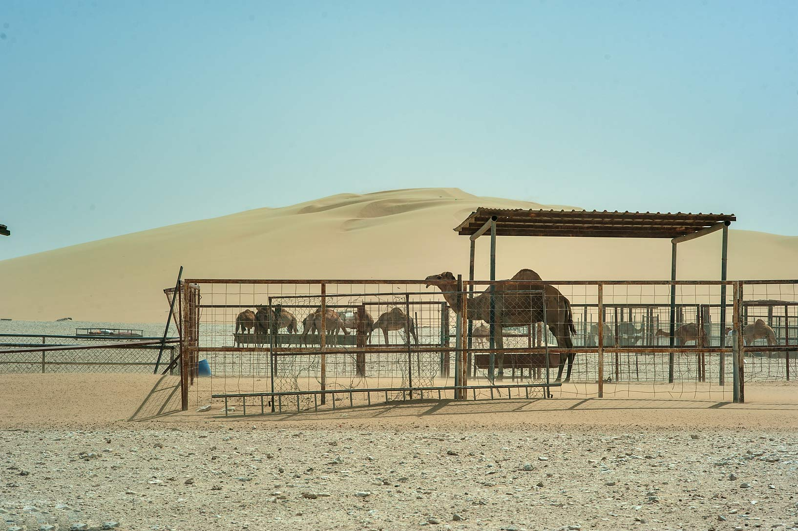 Camel farm in dunes area south from Abu Nahlah. Qatar
