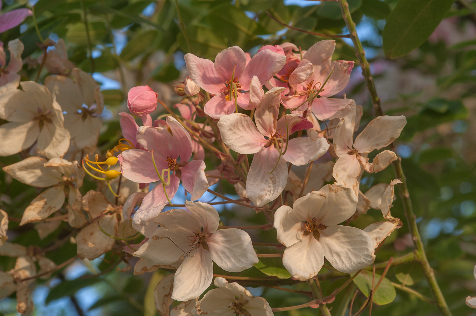 Flowers of pink shower tree (Cassia javanica) in Aspire Park. Doha, Qatar