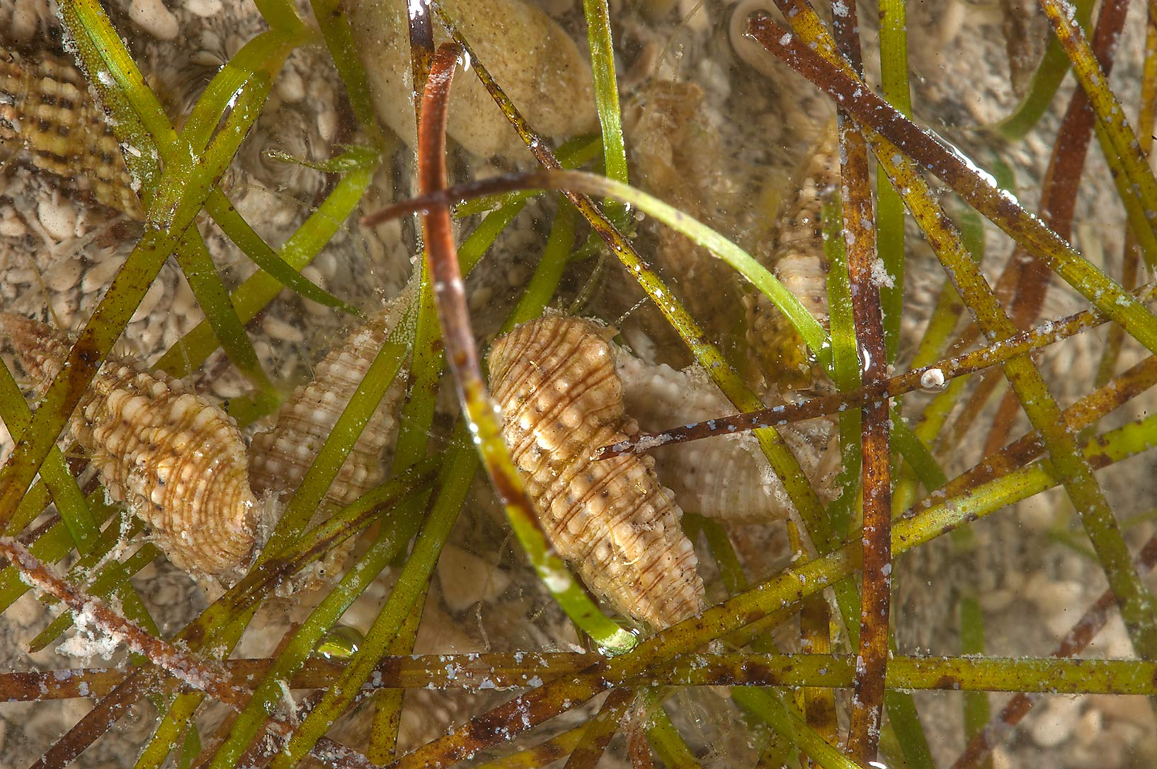 Small sea snails among linear leaves of...on northern coast (Al Shamal). Qatar