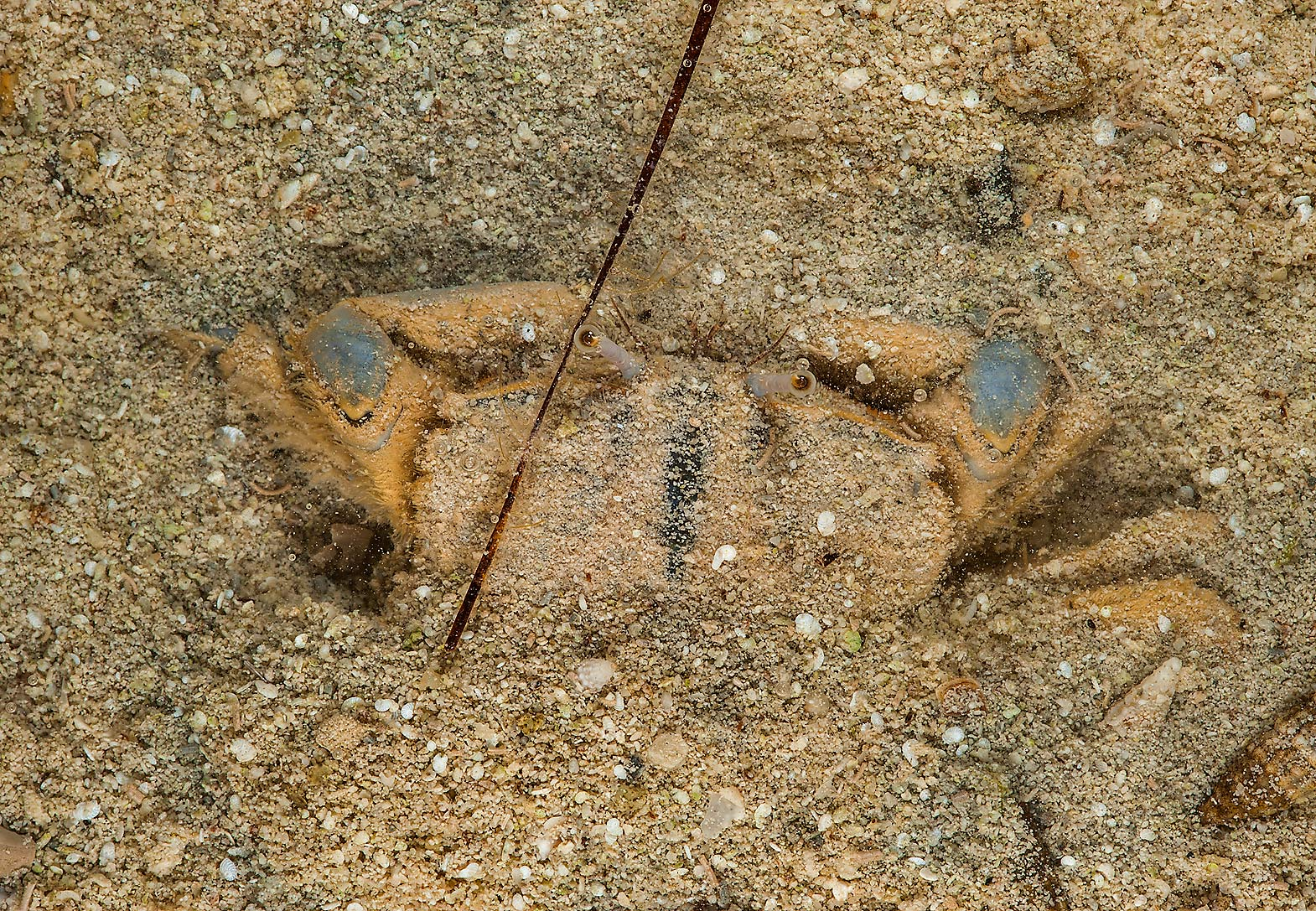 Small crab hiding in sand in shallow water in Al...on northern coast (Al Shamal). Qatar