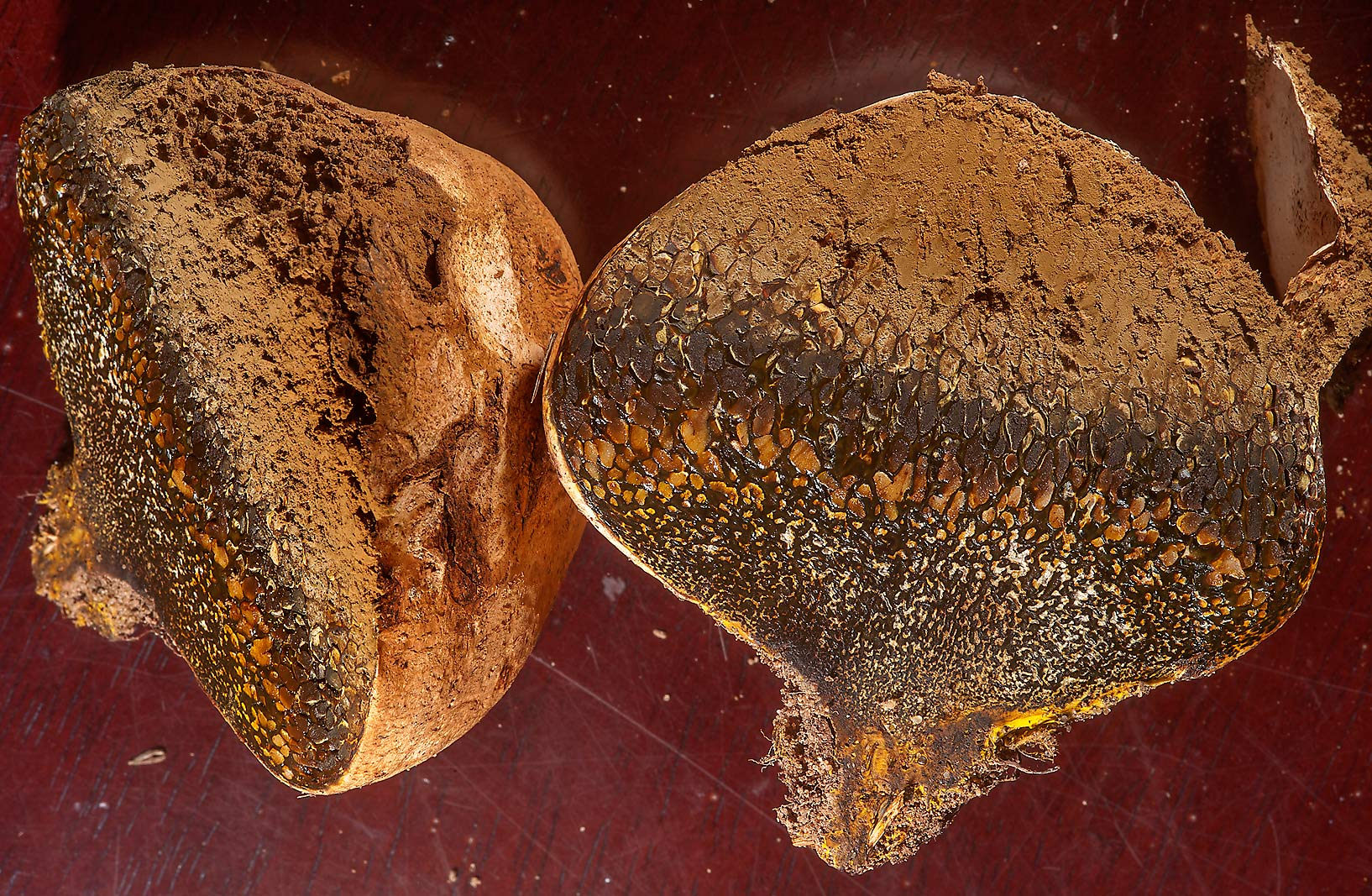 Cross section of horse dung fungus (Bohemian...Al Shamal City Park, in Ruwais. Qatar