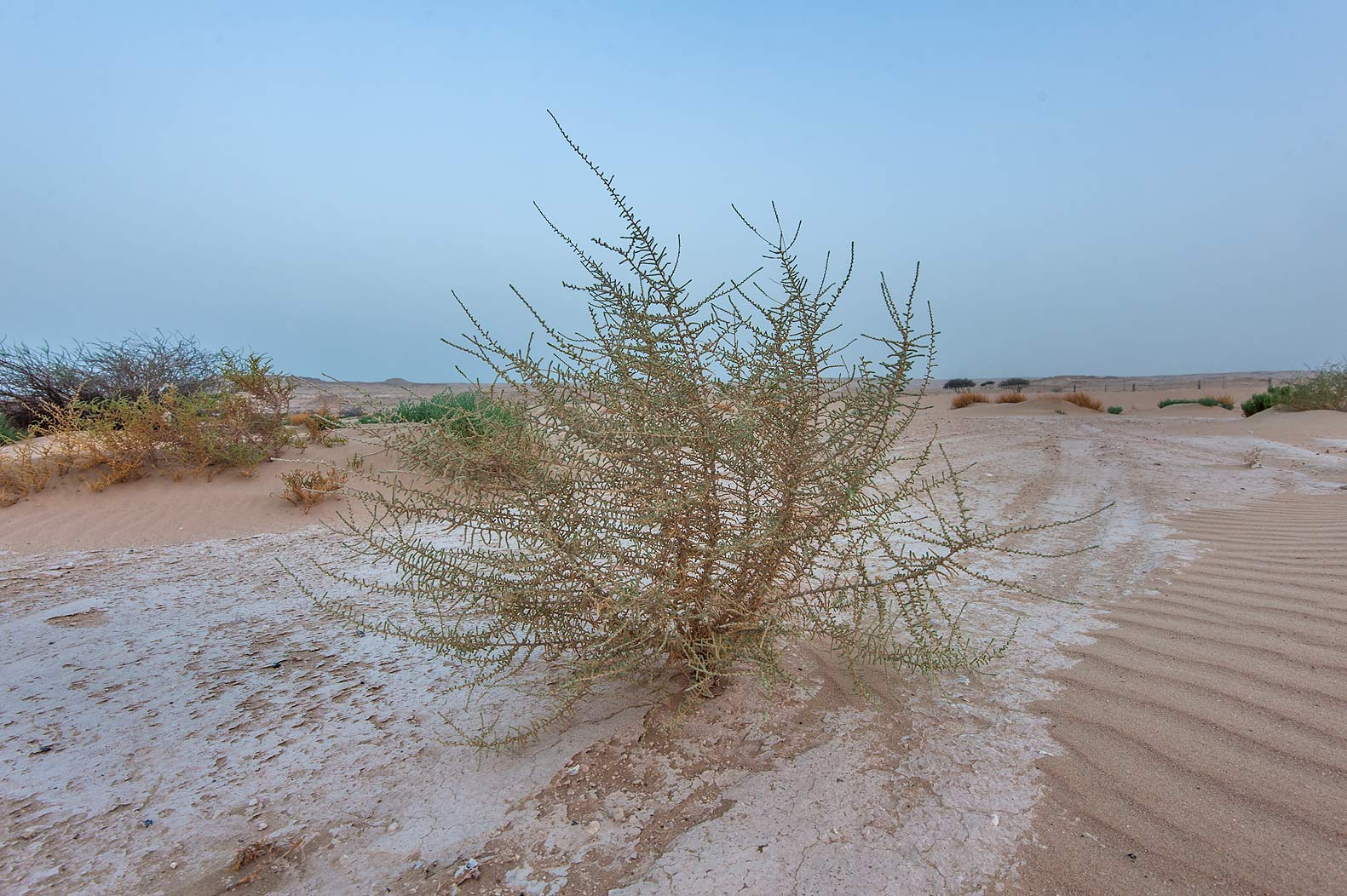 Bush of Salsola cyclophylla on roadside of Salwa...of Khashem Al Nekhsh. Southern Qatar