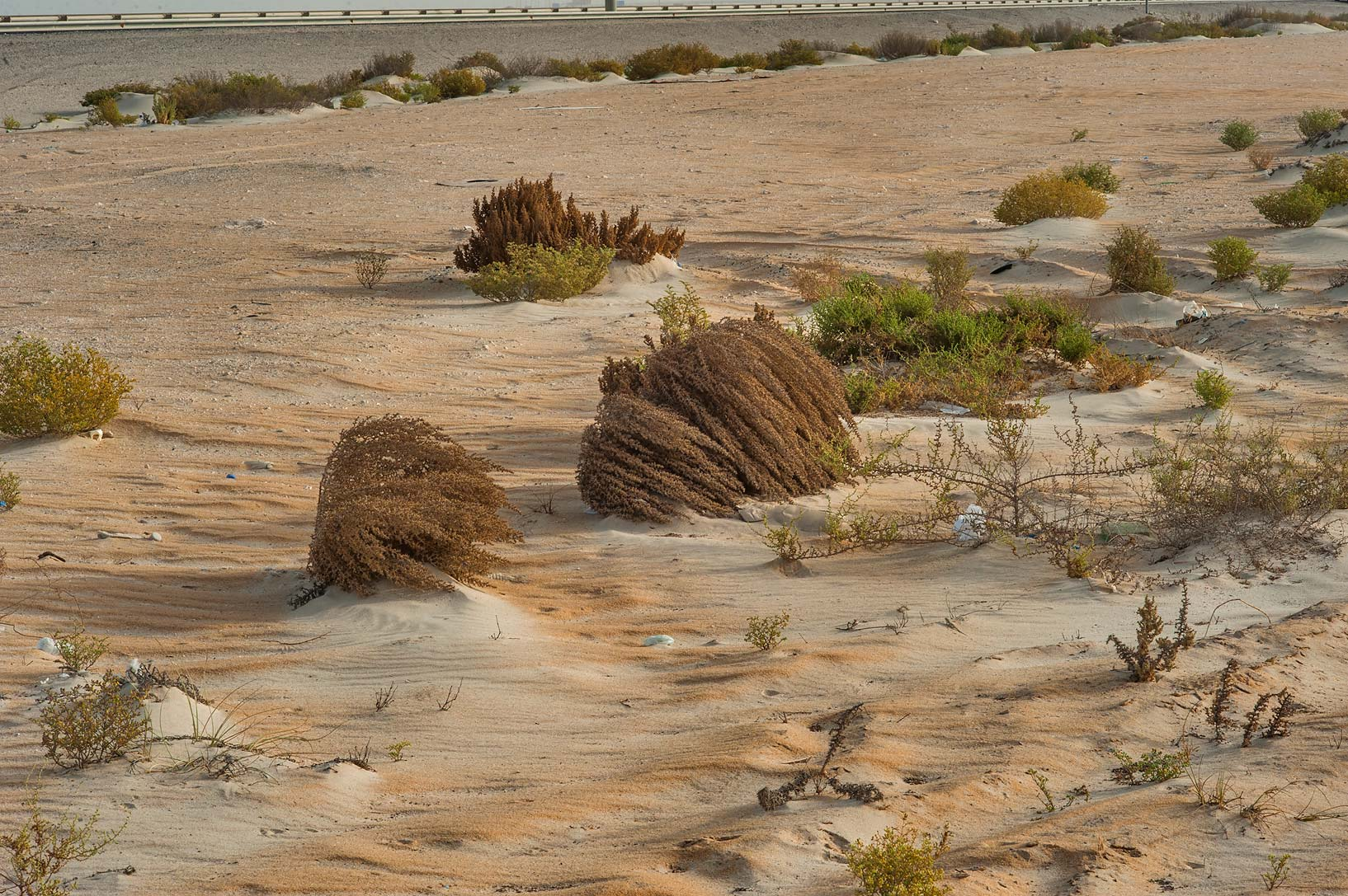 Tumbleweed plants of Cornulaca aucheri on...area of Rawdat Ekdaim. Southern Qatar