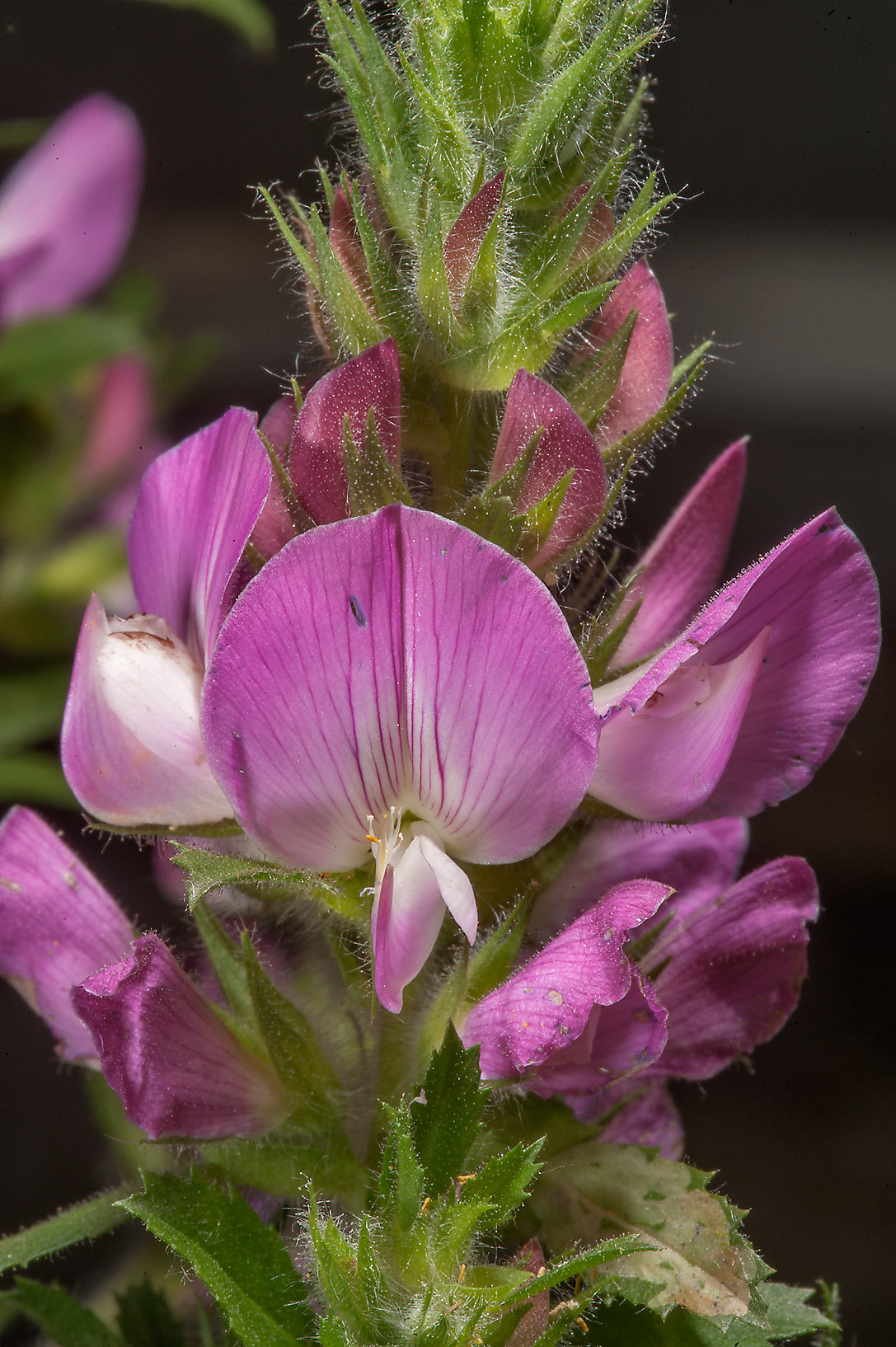 Field restharrow (Ononis arvensis, Russian name...Institute. St.Petersburg, Russia