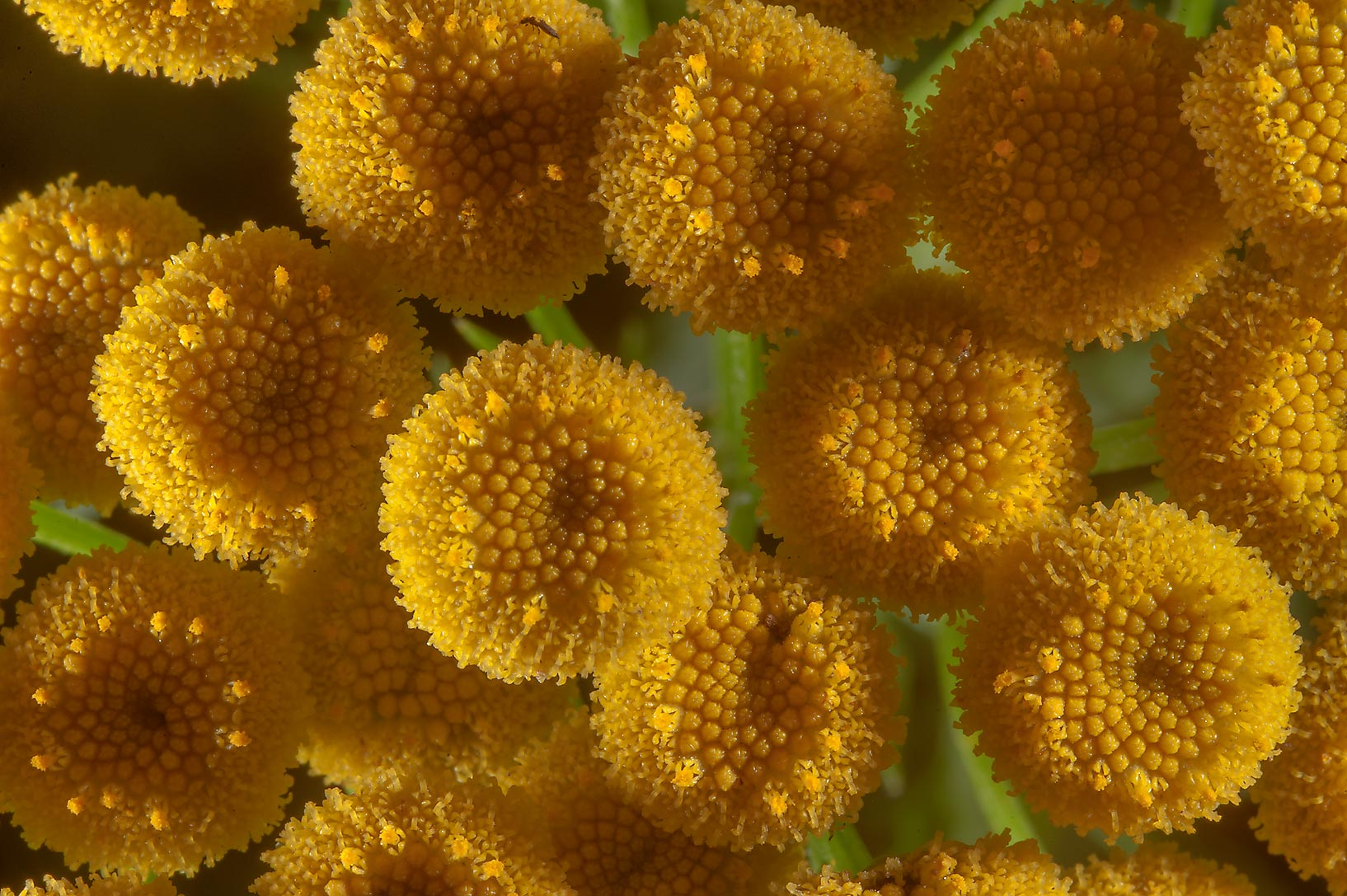 Tansy flowers (Tanacetum vulgare, Russian name...Institute. St.Petersburg, Russia