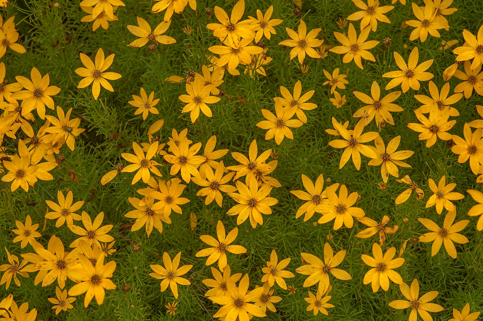Yellow flowers of threadleaf coreopsis (thread...Institute. St.Petersburg, Russia