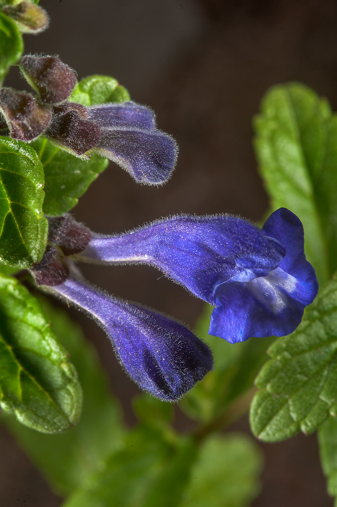 Skullcap (Scutellaria) in rock garden in Botanic...Institute. St.Petersburg, Russia
