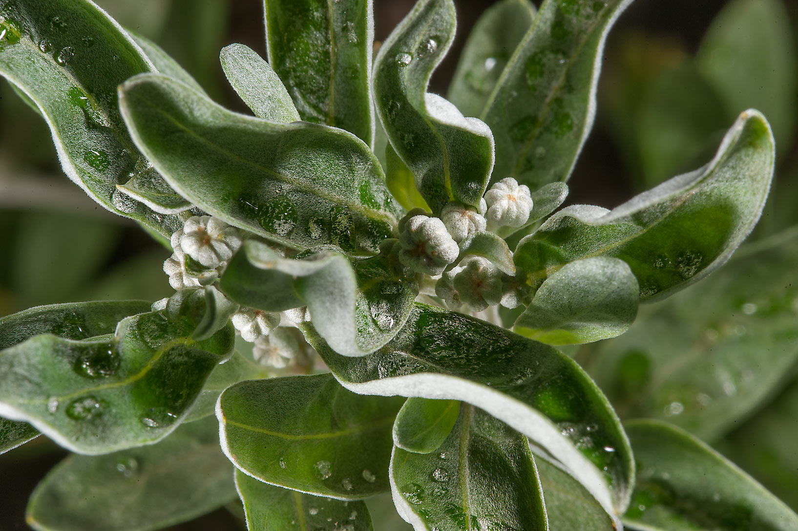 Silvery-grey leaves of rabbit-head wormwood...Institute. St.Petersburg, Russia