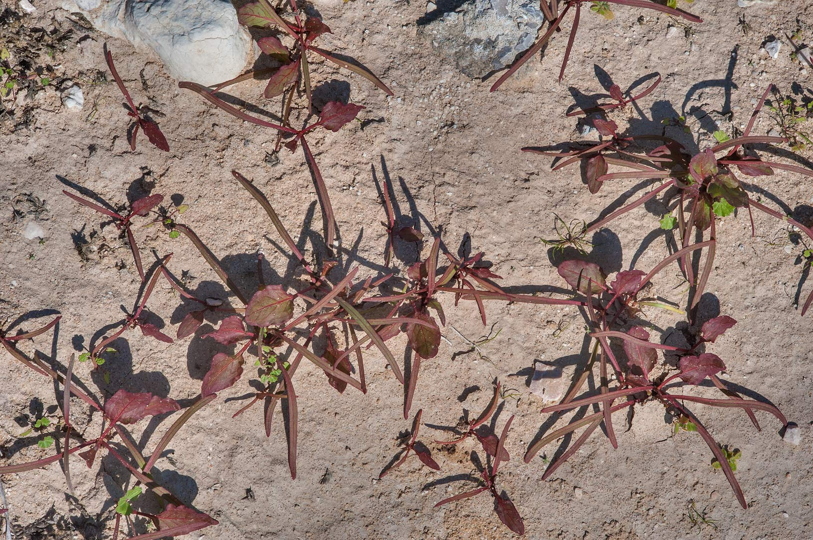 Seedlings of prickly dock (Emex spinosa) in roadside depression of Dukhan Highway. Qatar