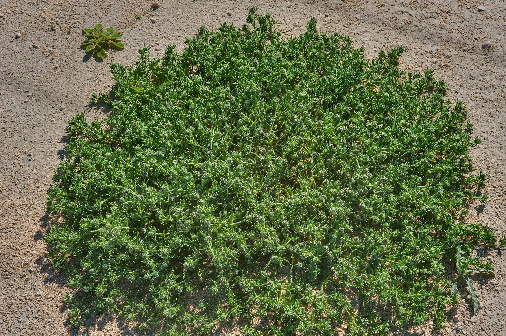 Mat of Knucklehead Weed (Sclerocephalus arabicus...depression near Dukhan Highway. Qatar
