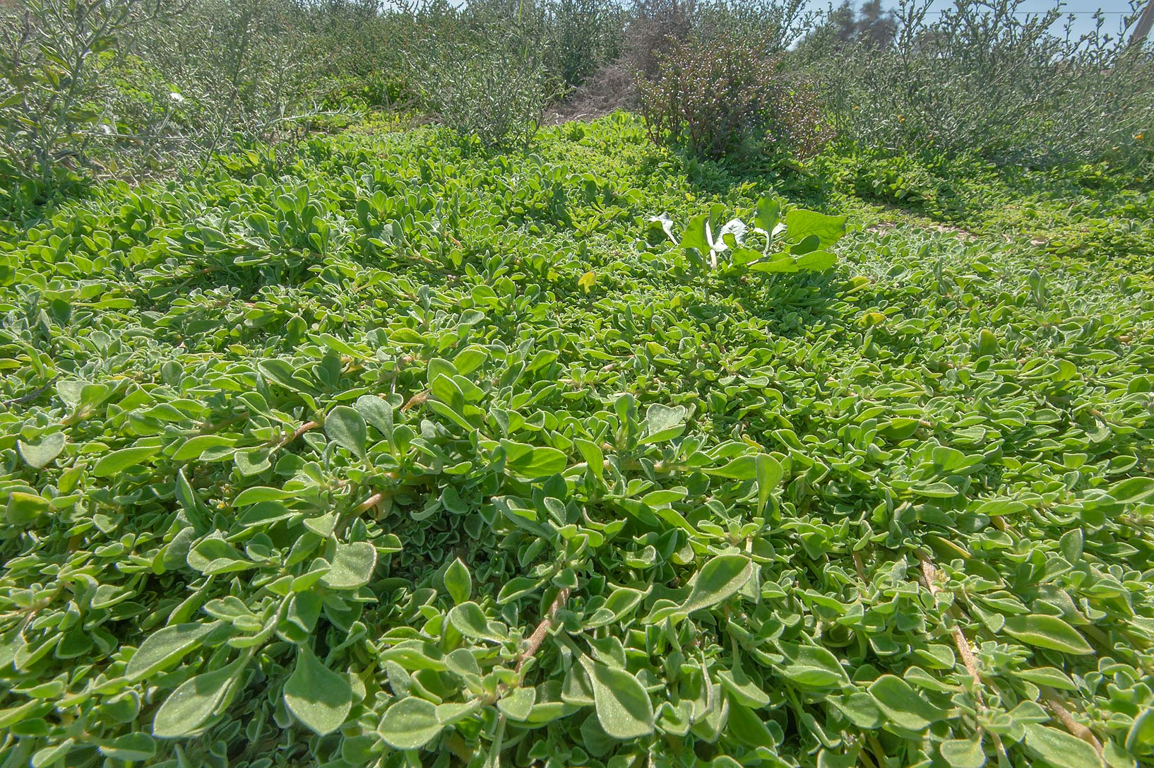 Dense mat of purslane-leaved aizoon (Aizoon...Highway near Ash-Shahaniyah. Qatar