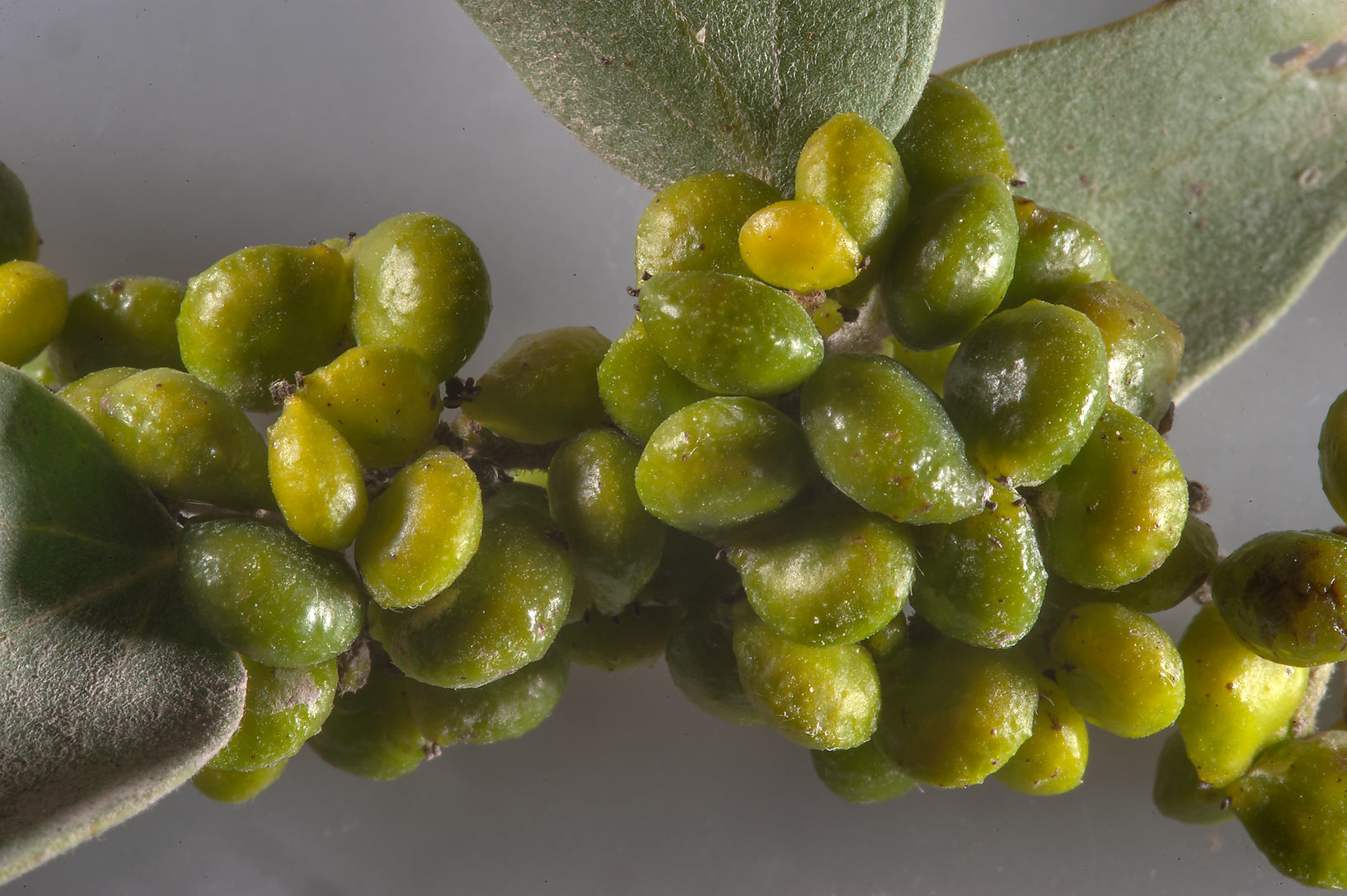 Masses of green berry like galls on a branch of...north from Shekhaniya. Qatar